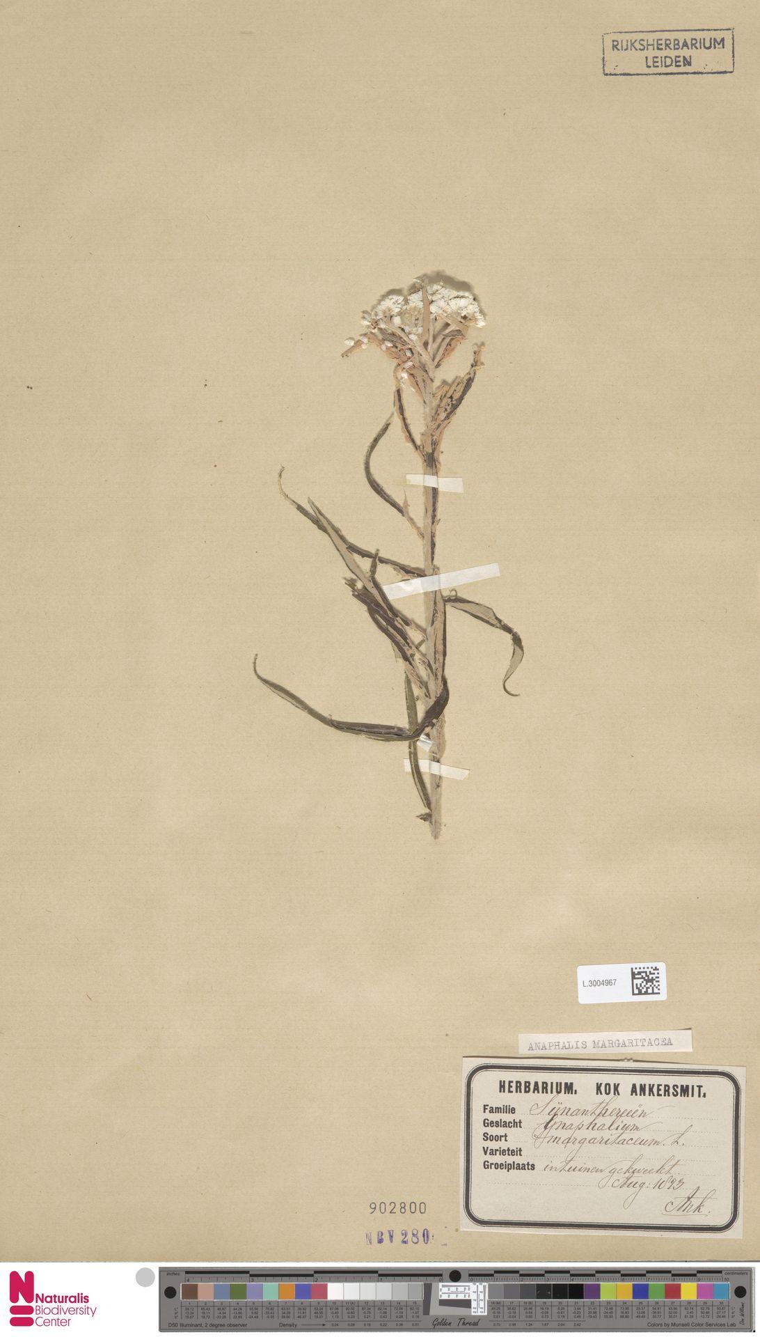 L.3004967 | Anaphalis margaritacea (L.) Benth. & Hook.f.