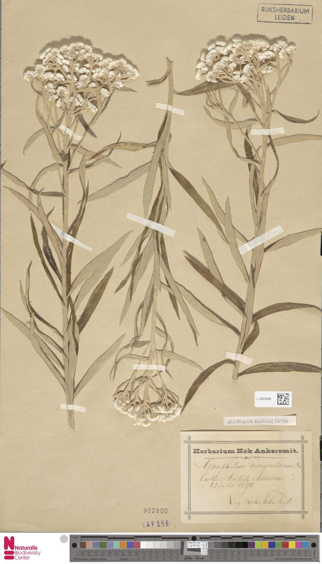 L.3004968 | Anaphalis margaritacea (L.) Benth. & Hook.f.