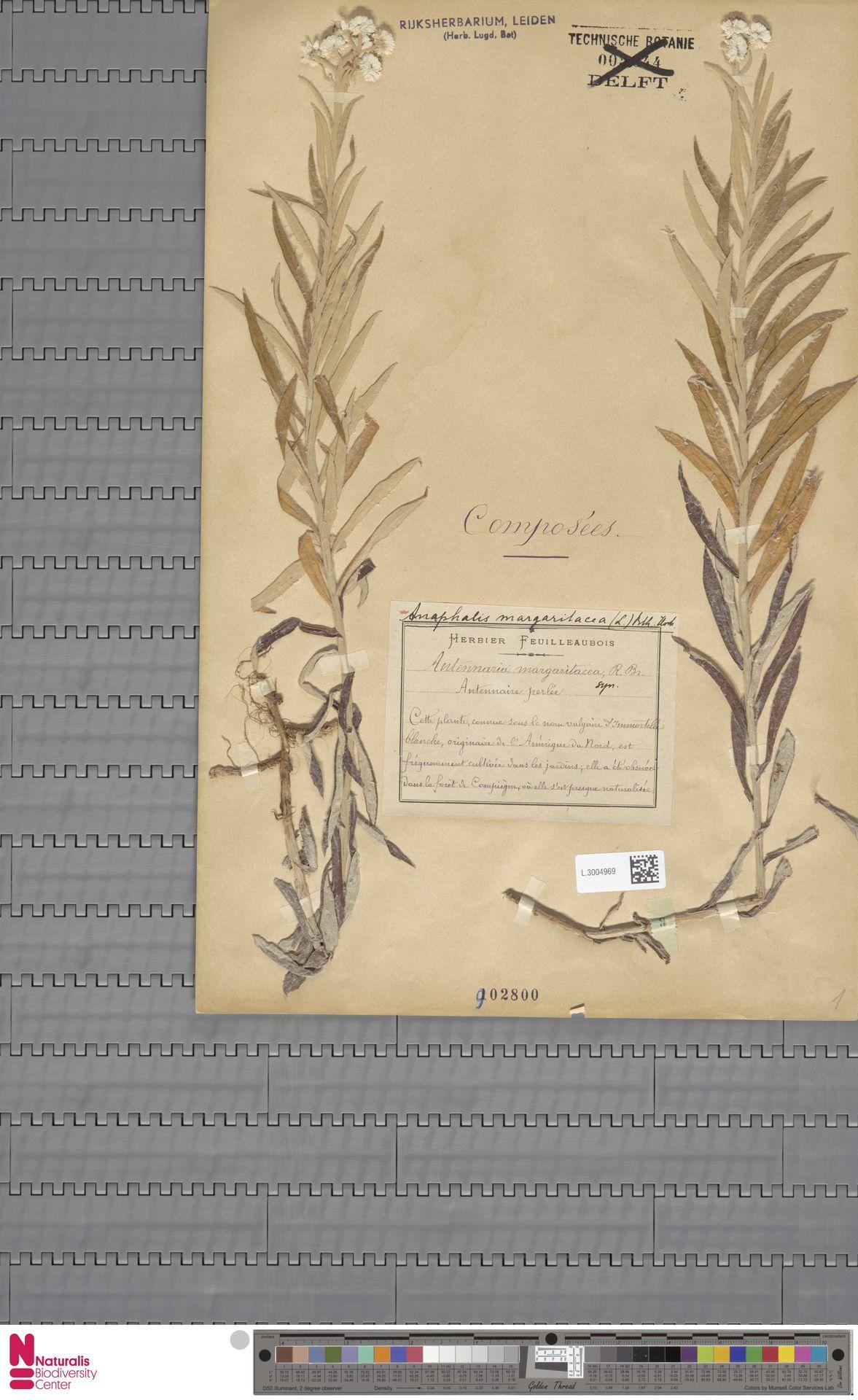 L.3004969   Anaphalis margaritacea (L.) Benth. & Hook.f.