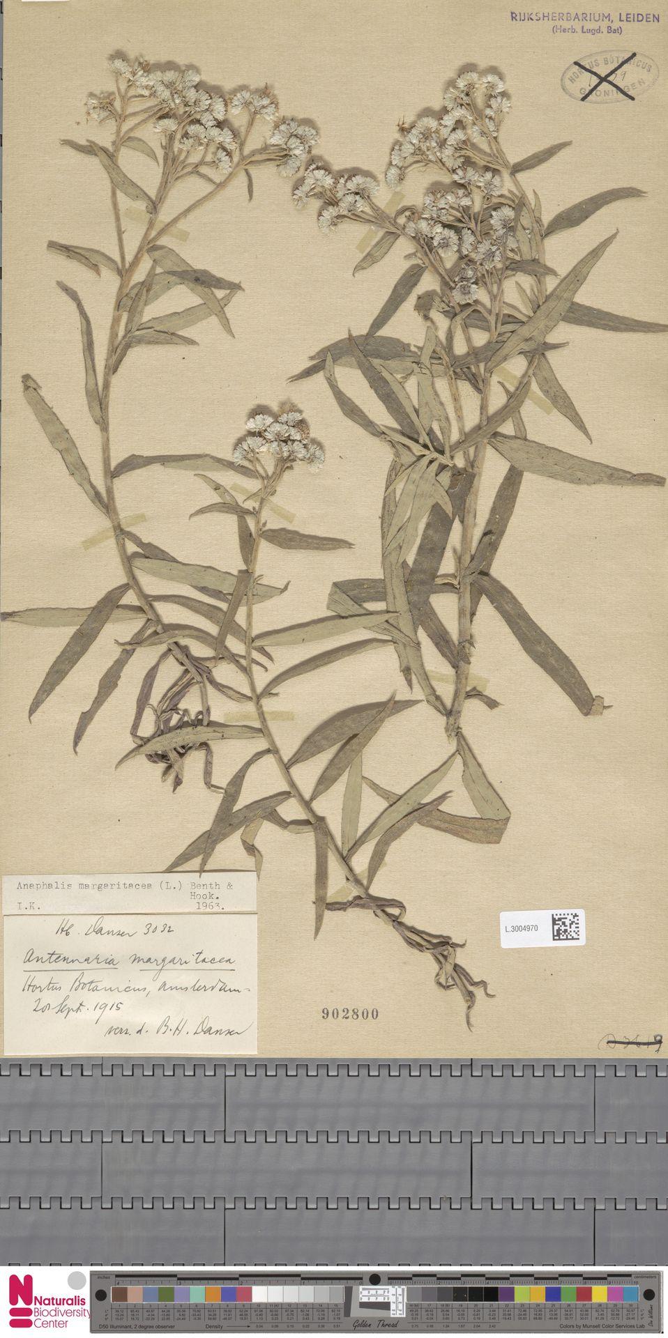 L.3004970 | Anaphalis margaritacea (L.) Benth. & Hook.f.
