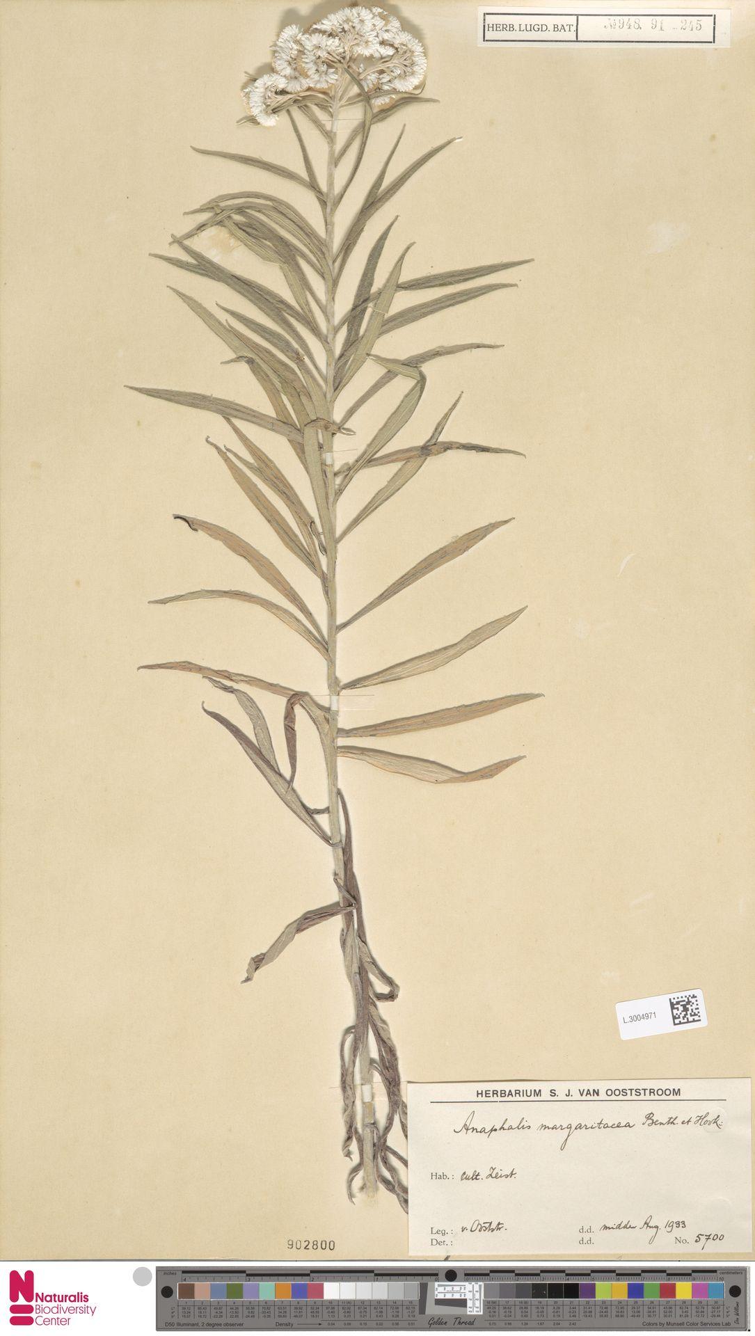 L.3004971 | Anaphalis margaritacea (L.) Benth. & Hook.f.