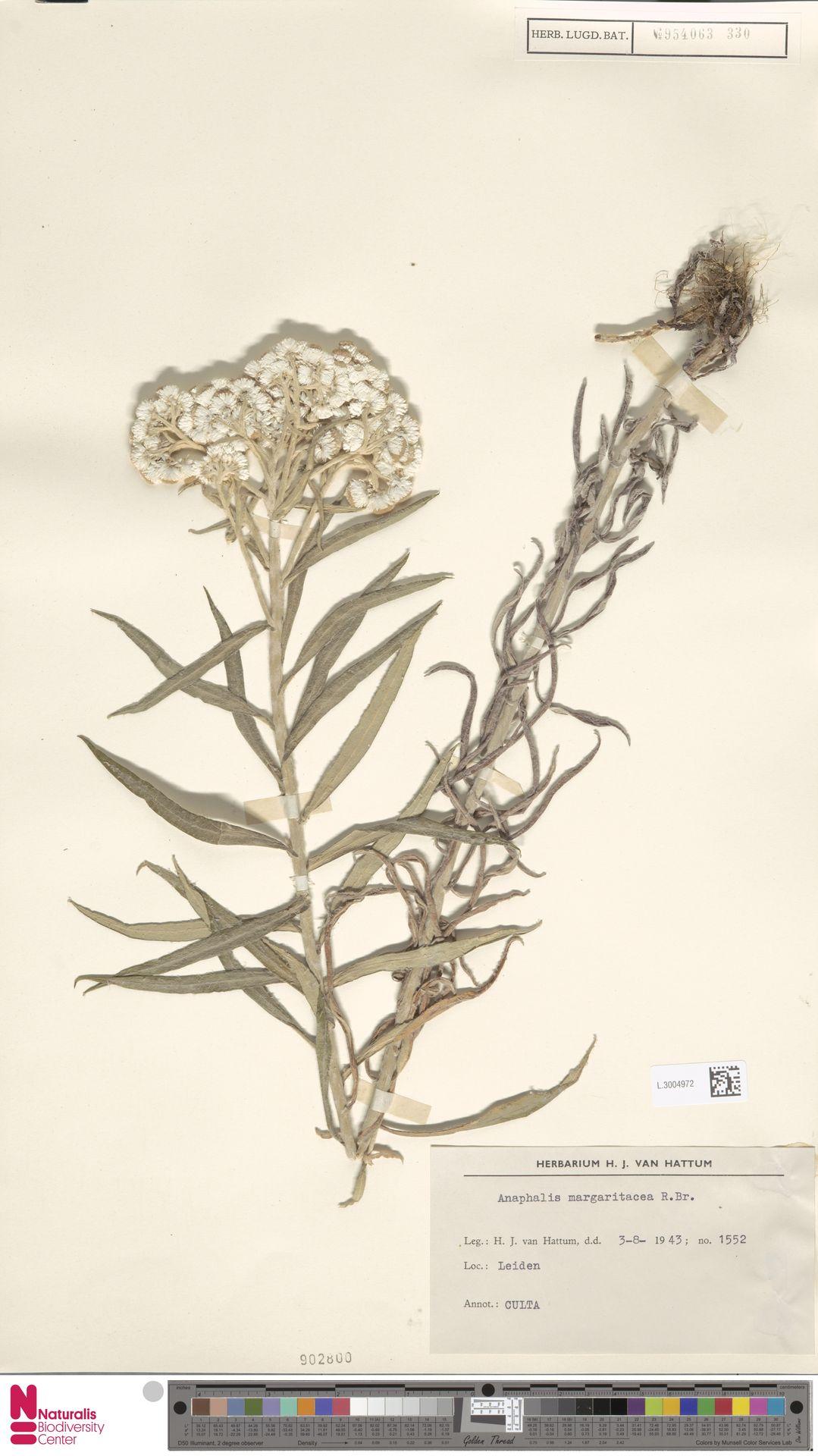 L.3004972 | Anaphalis margaritacea (L.) Benth. & Hook.f.