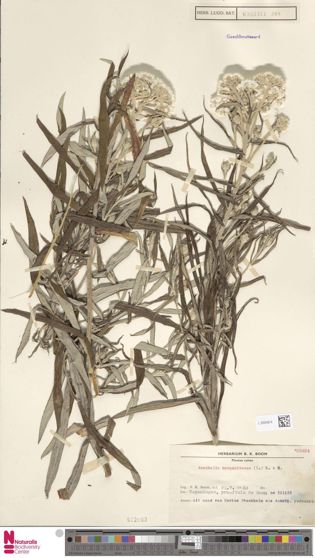 L.3004974 | Anaphalis margaritacea (L.) Benth. & Hook.f.