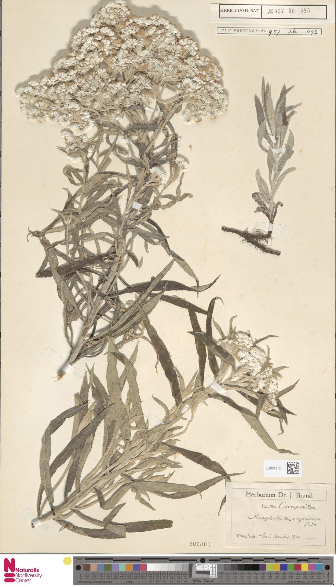 L.3004975 | Anaphalis margaritacea (L.) Benth. & Hook.f.