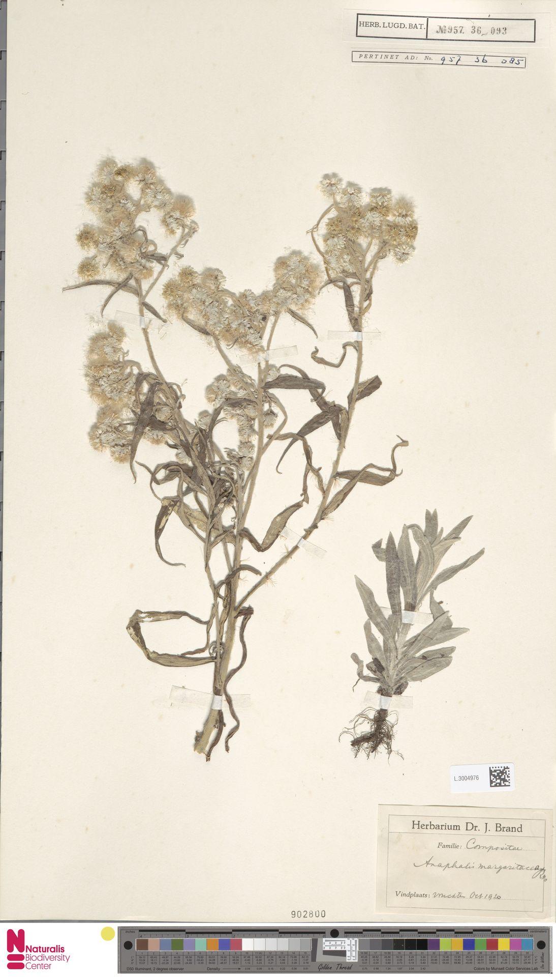 L.3004976 | Anaphalis margaritacea (L.) Benth. & Hook.f.