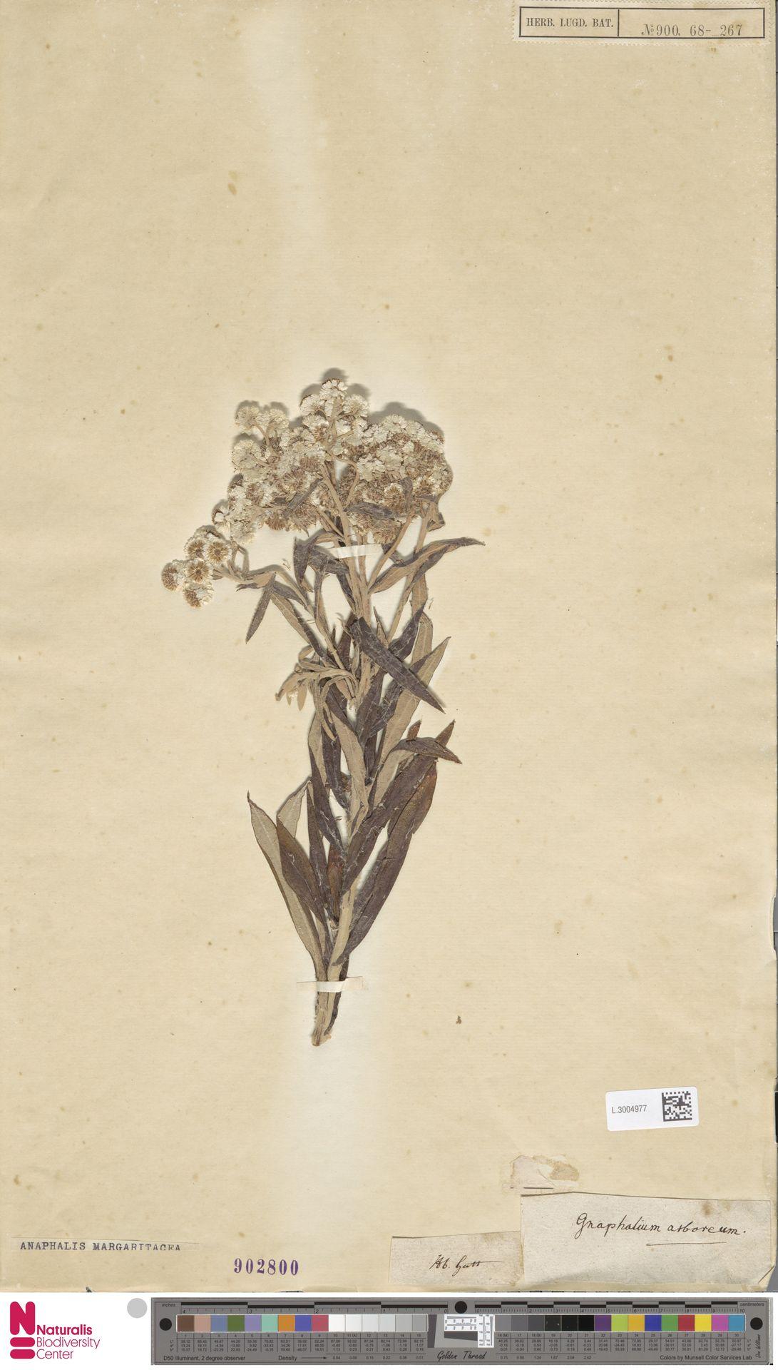 L.3004977   Anaphalis margaritacea (L.) Benth. & Hook.f.