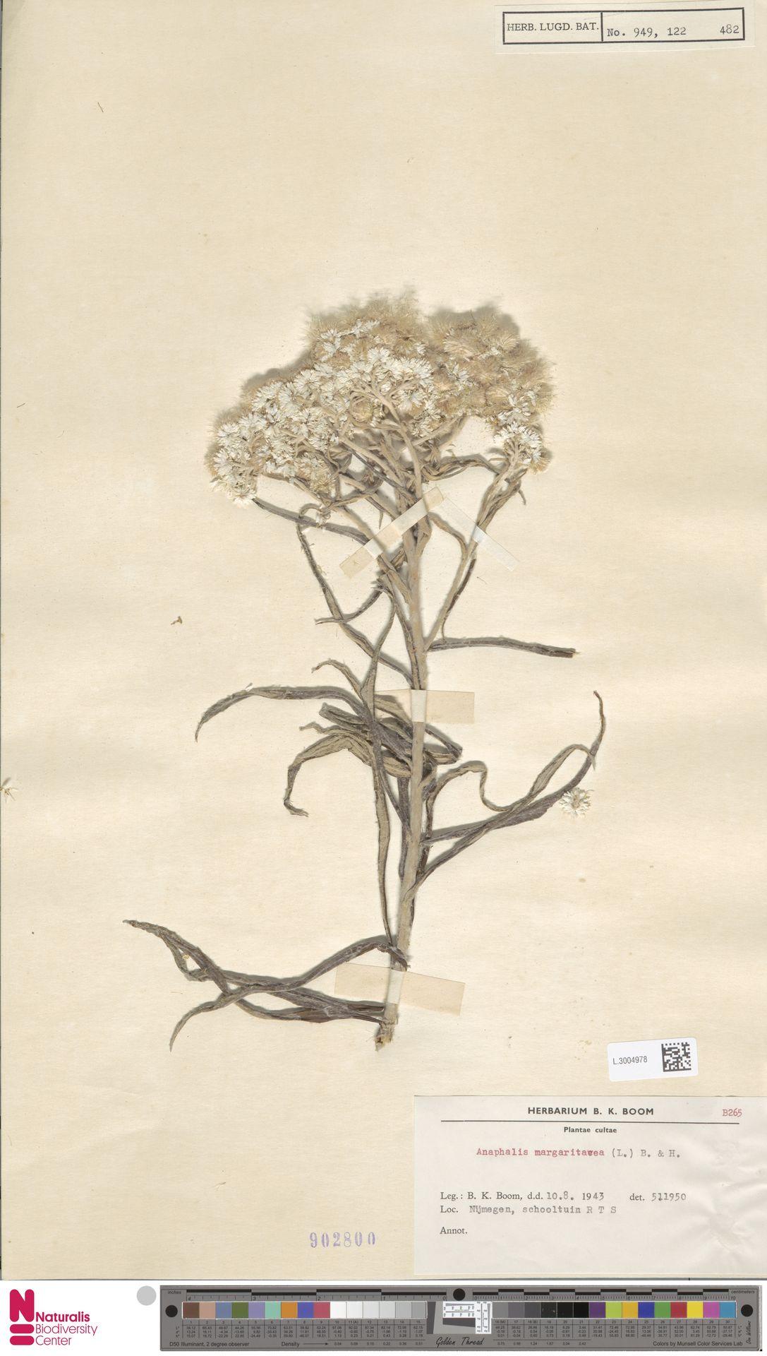 L.3004978   Anaphalis margaritacea (L.) Benth. & Hook.f.