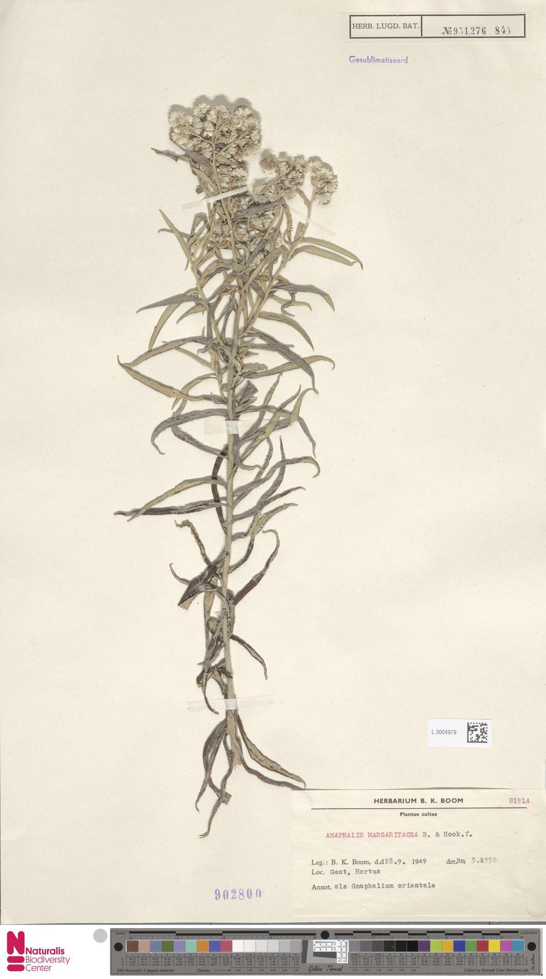 L.3004979   Anaphalis margaritacea (L.) Benth. & Hook.f.