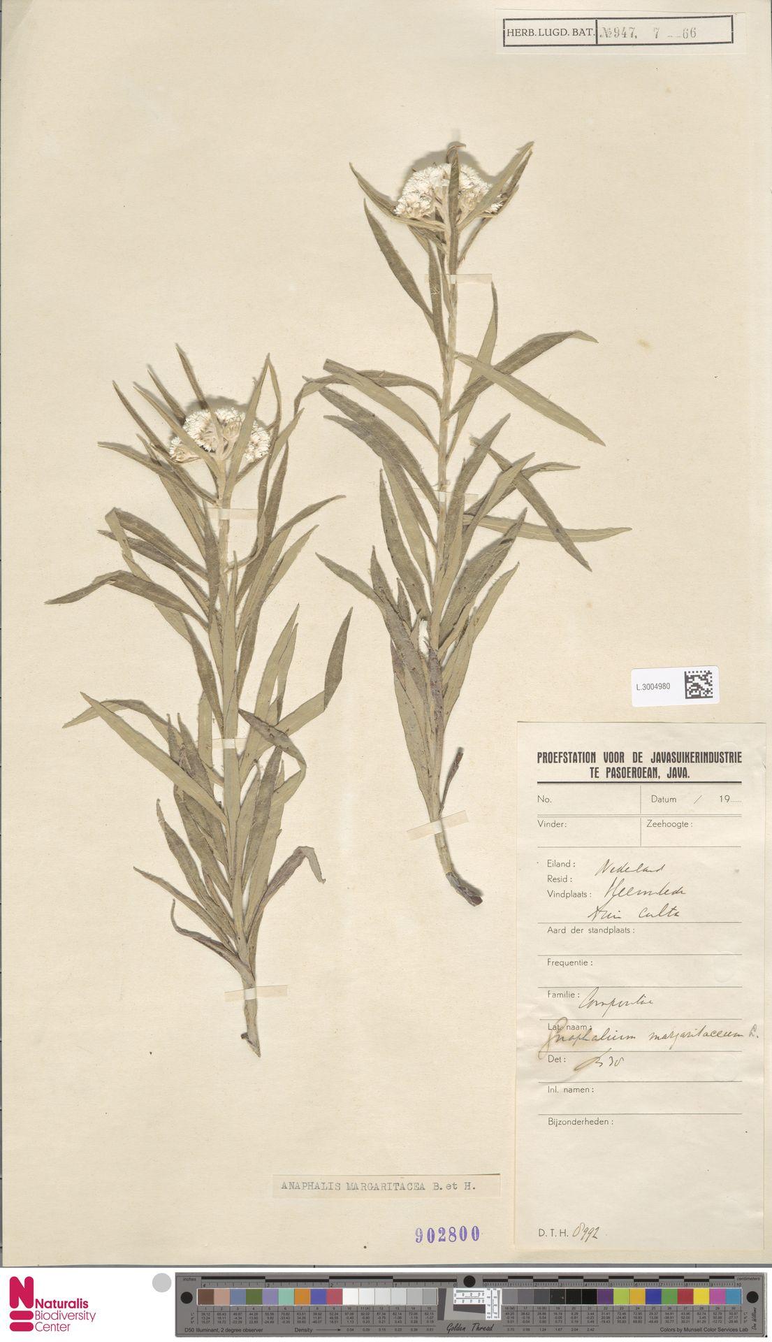 L.3004980   Anaphalis margaritacea (L.) Benth. & Hook.f.
