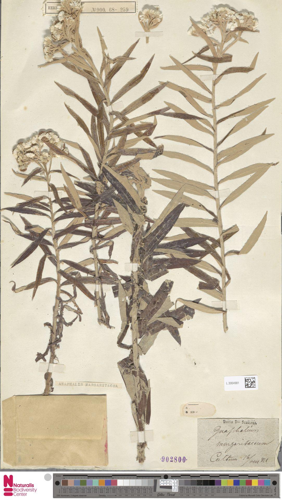 L.3004981 | Anaphalis margaritacea (L.) Benth. & Hook.f.