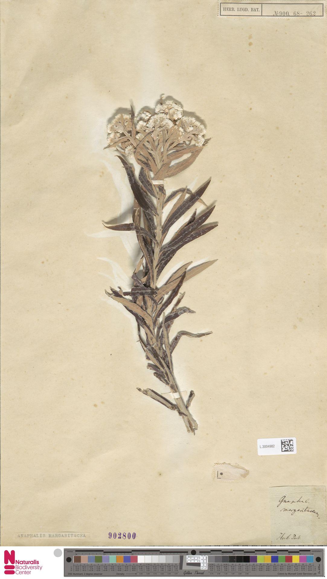 L.3004982   Anaphalis margaritacea (L.) Benth. & Hook.f.