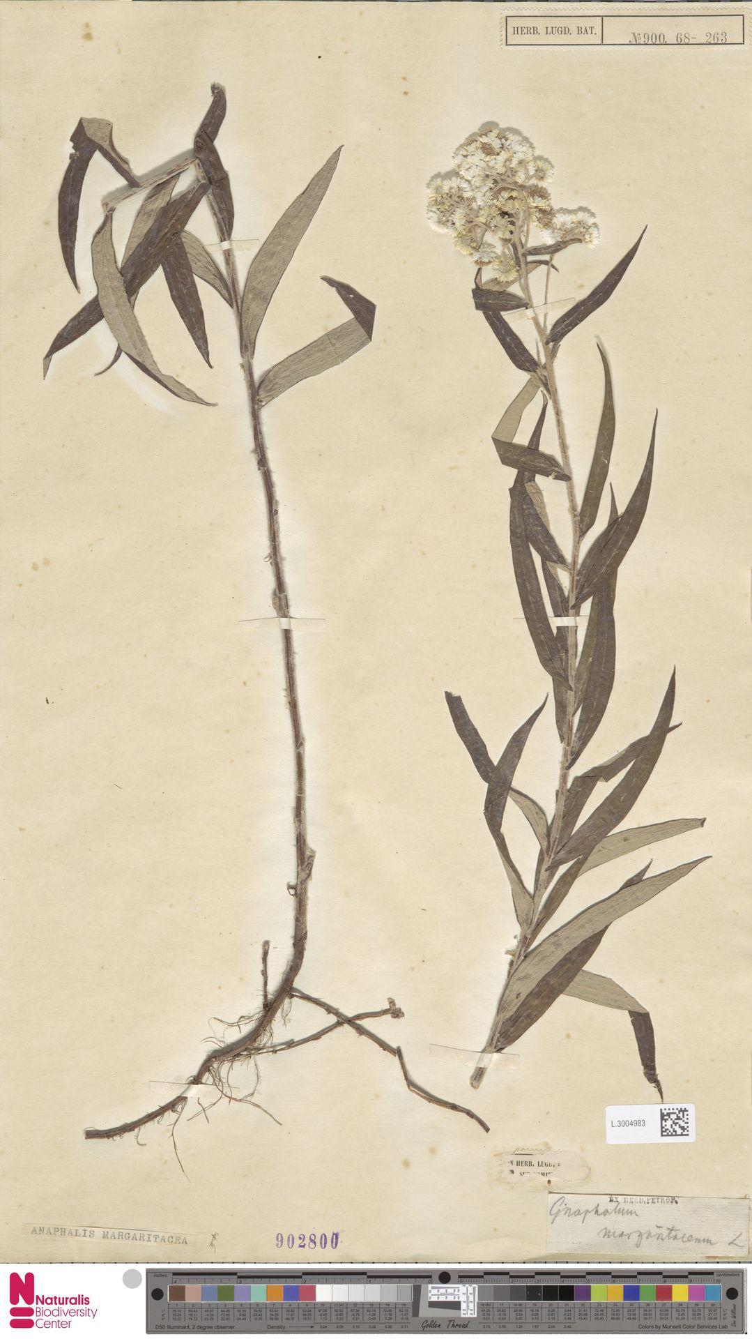 L.3004983 | Anaphalis margaritacea (L.) Benth. & Hook.f.