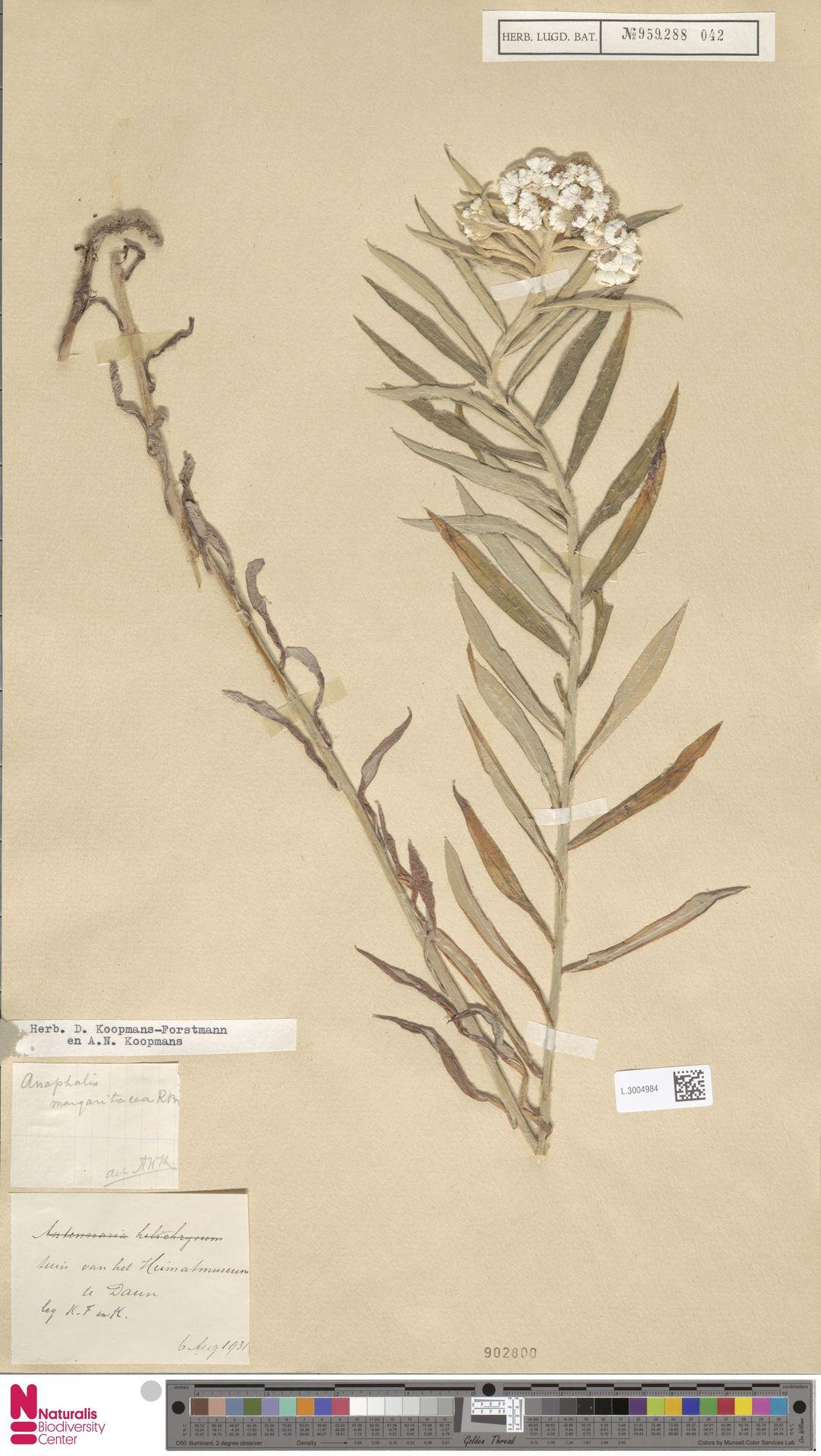 L.3004984 | Anaphalis margaritacea (L.) Benth. & Hook.f.