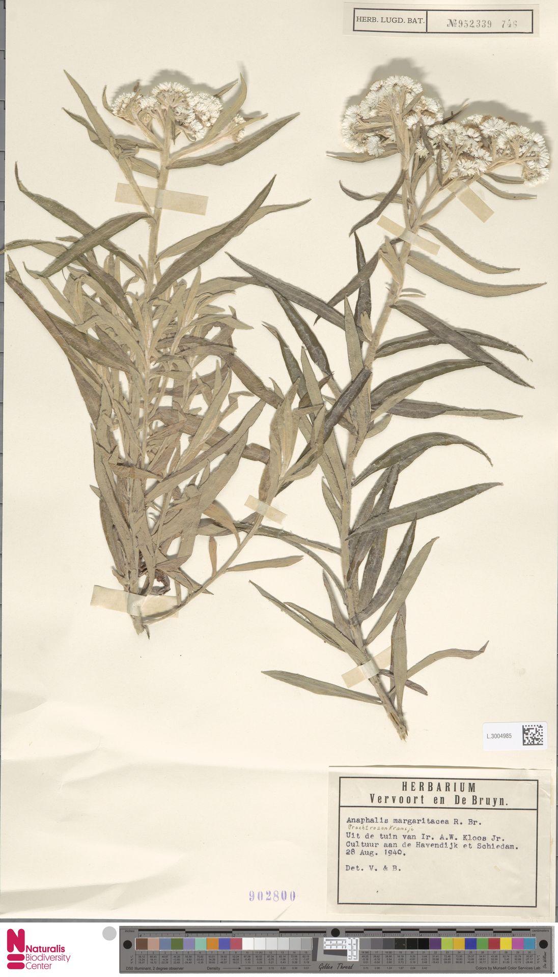 L.3004985 | Anaphalis margaritacea (L.) Benth. & Hook.f.