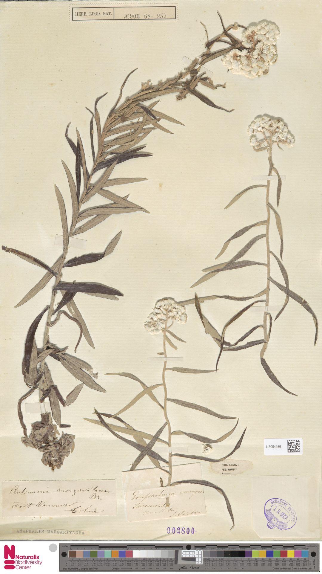 L.3004986 | Anaphalis margaritacea (L.) Benth. & Hook.f.
