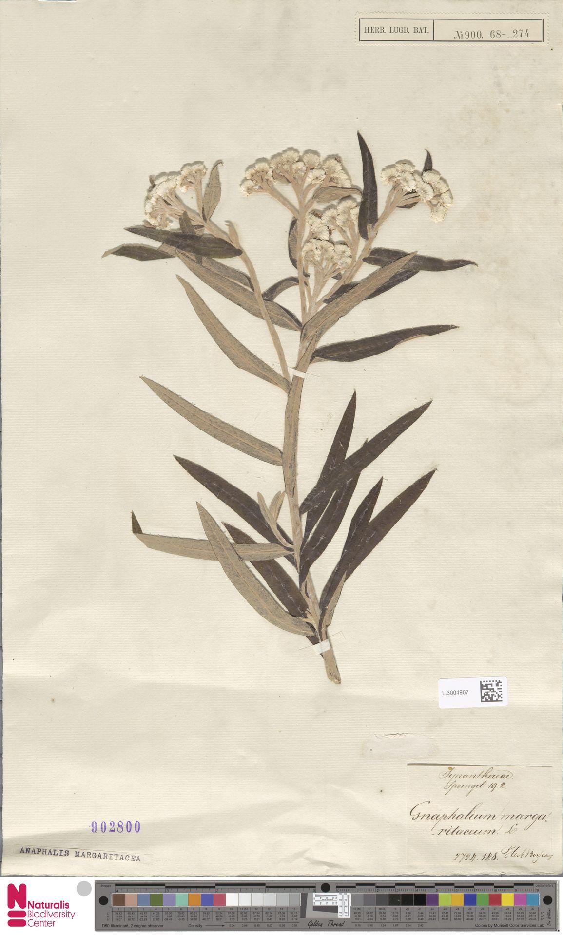 L.3004987 | Anaphalis margaritacea (L.) Benth. & Hook.f.