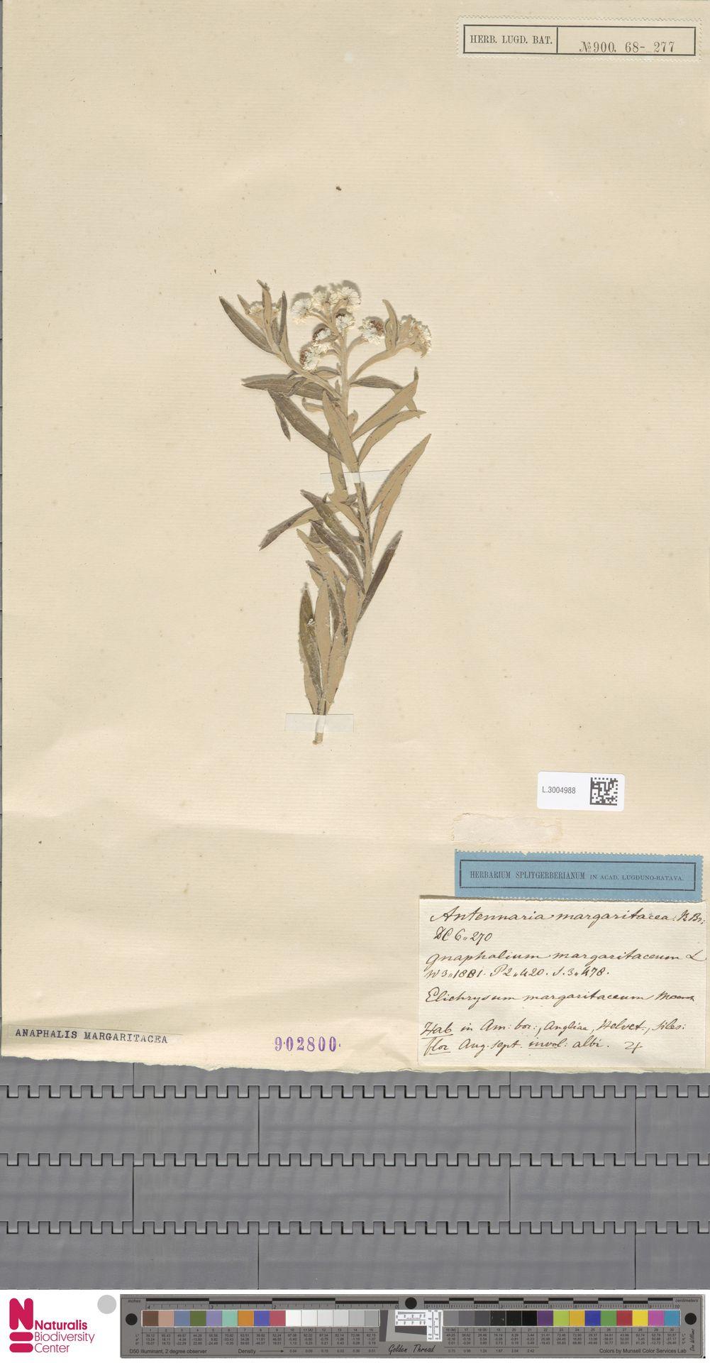 L.3004988   Anaphalis margaritacea (L.) Benth. & Hook.f.
