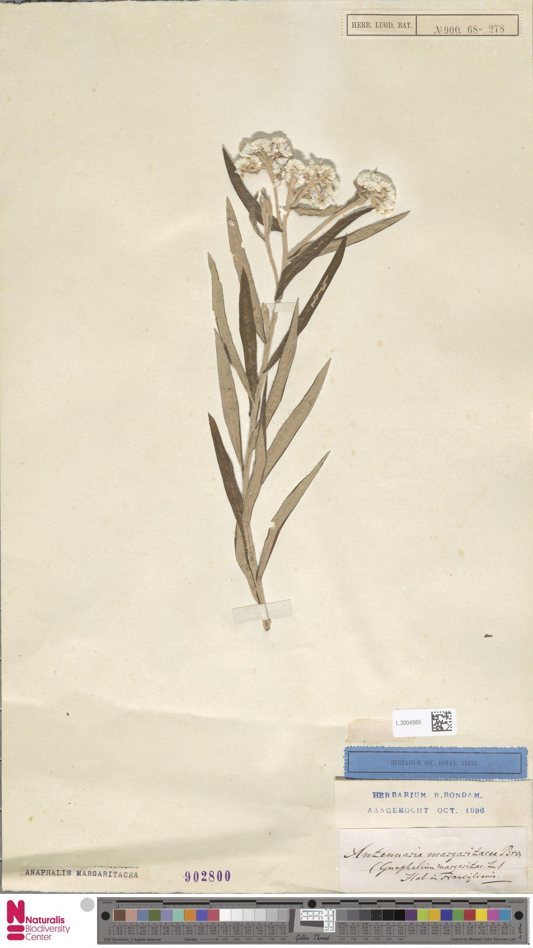 L.3004989   Anaphalis margaritacea (L.) Benth. & Hook.f.