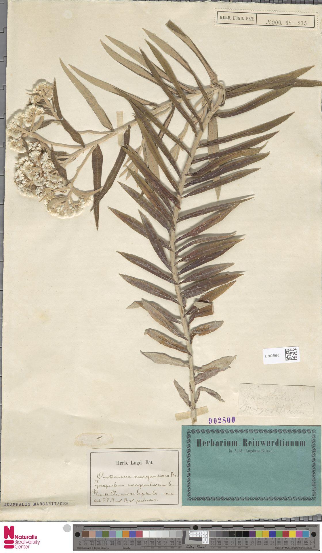 L.3004990 | Anaphalis margaritacea (L.) Benth. & Hook.f.