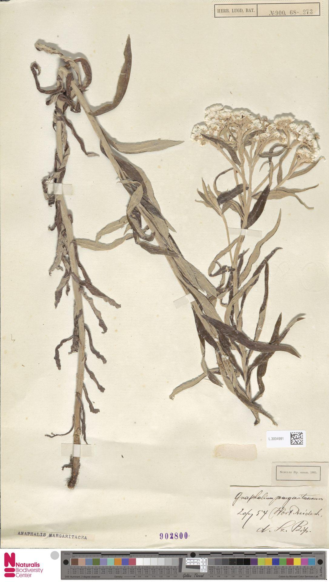 L.3004991 | Anaphalis margaritacea (L.) Benth. & Hook.f.