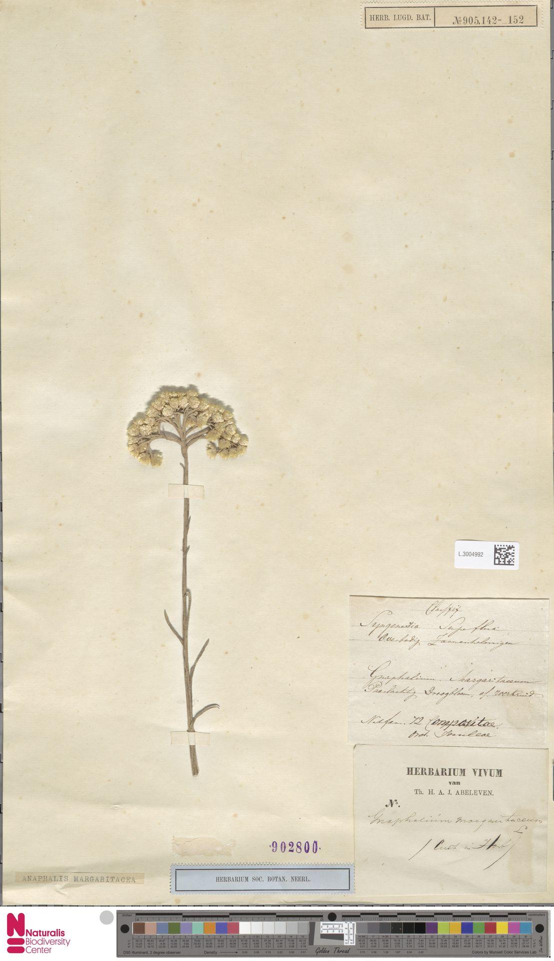L.3004992 | Anaphalis margaritacea (L.) Benth. & Hook.f.