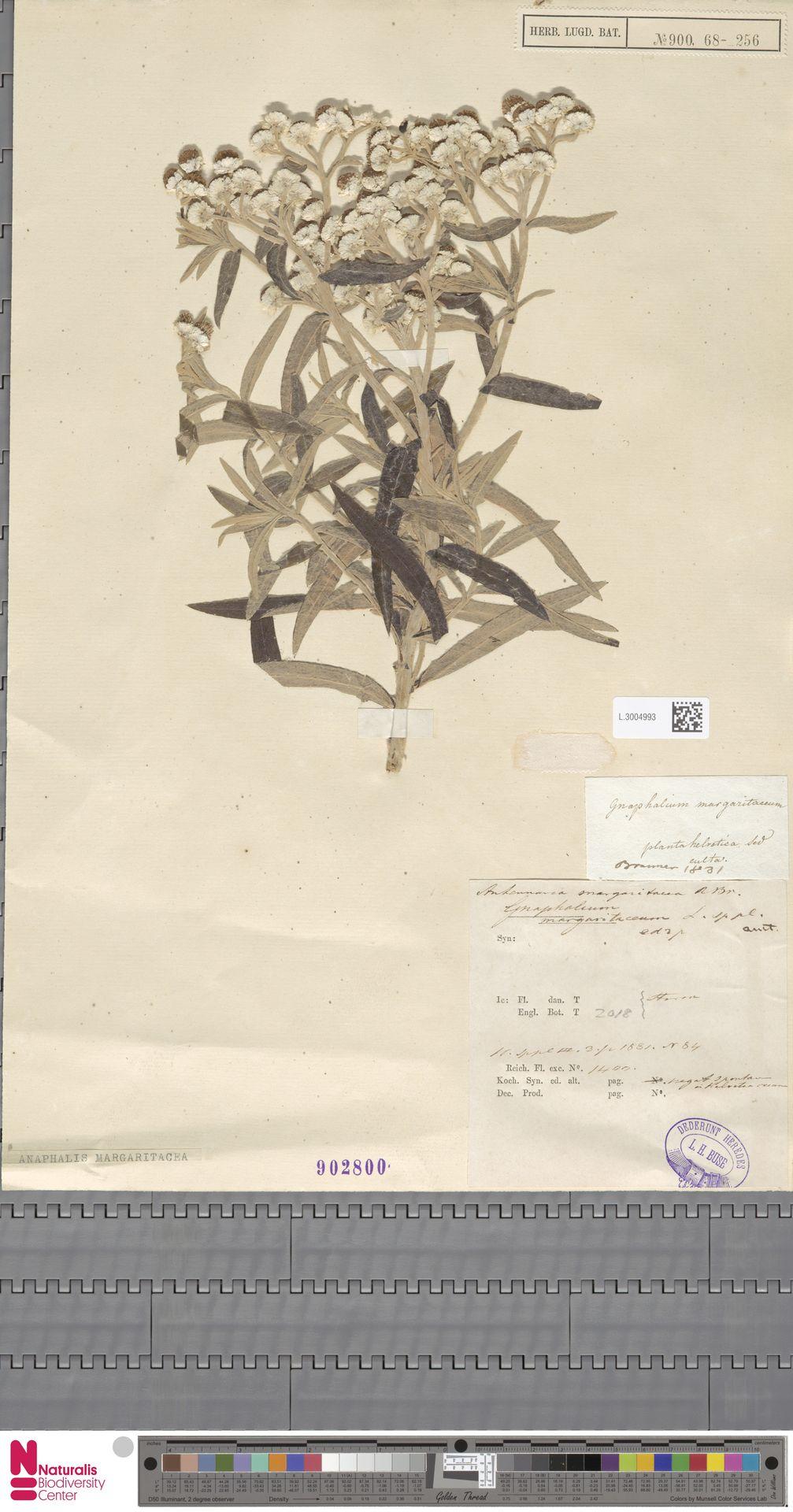 L.3004993   Anaphalis margaritacea (L.) Benth. & Hook.f.