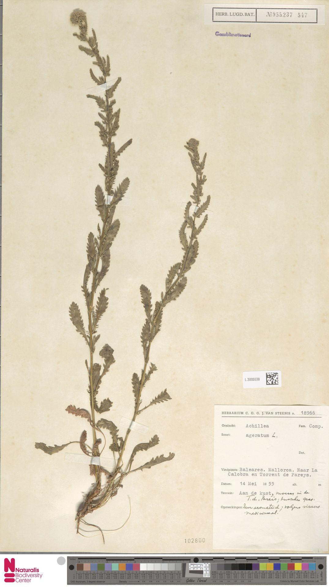 L.3005538 | Achillea ageratum L.