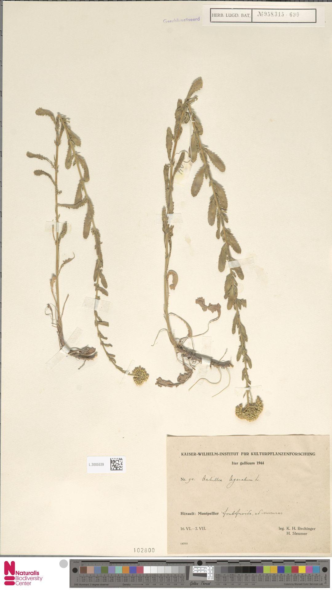 L.3005539 | Achillea ageratum L.