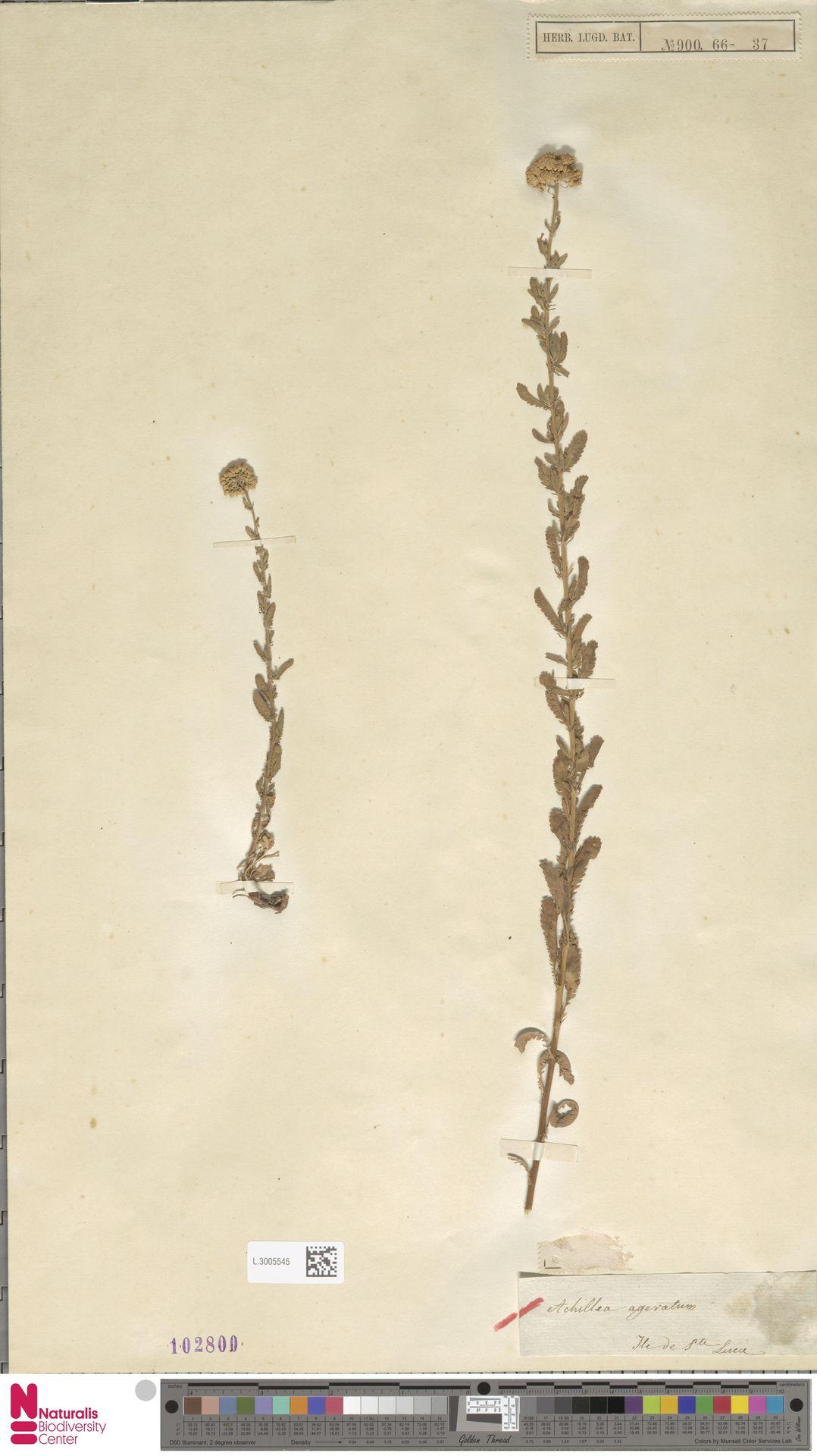 L.3005545 | Achillea ageratum L.