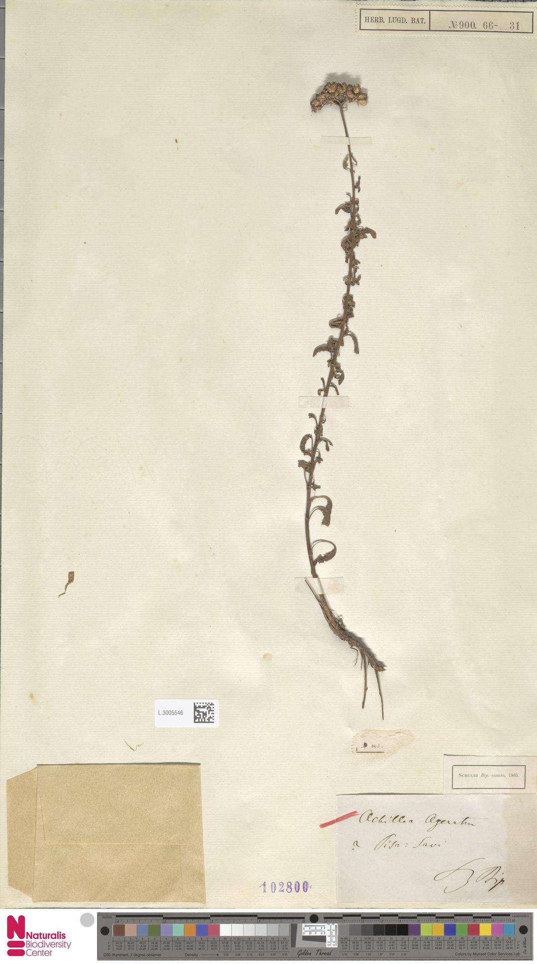 L.3005546 | Achillea ageratum L.