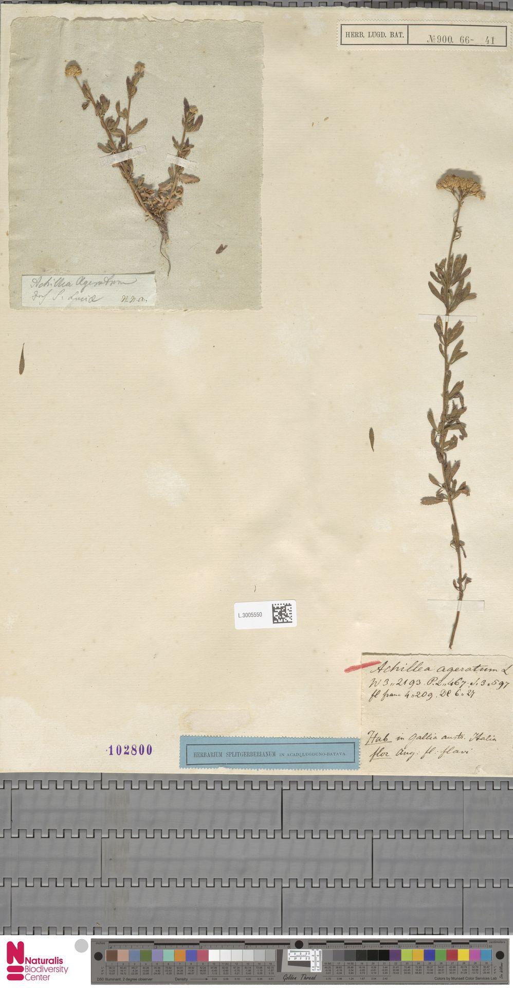 L.3005550 | Achillea ageratum L.