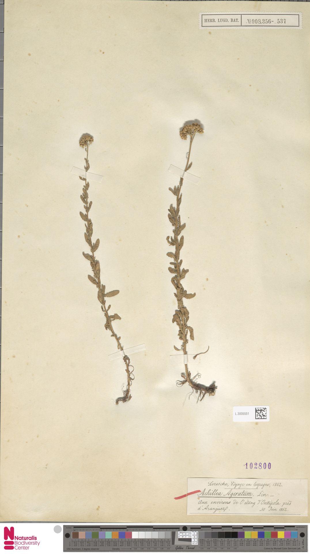 L.3005551 | Achillea ageratum L.