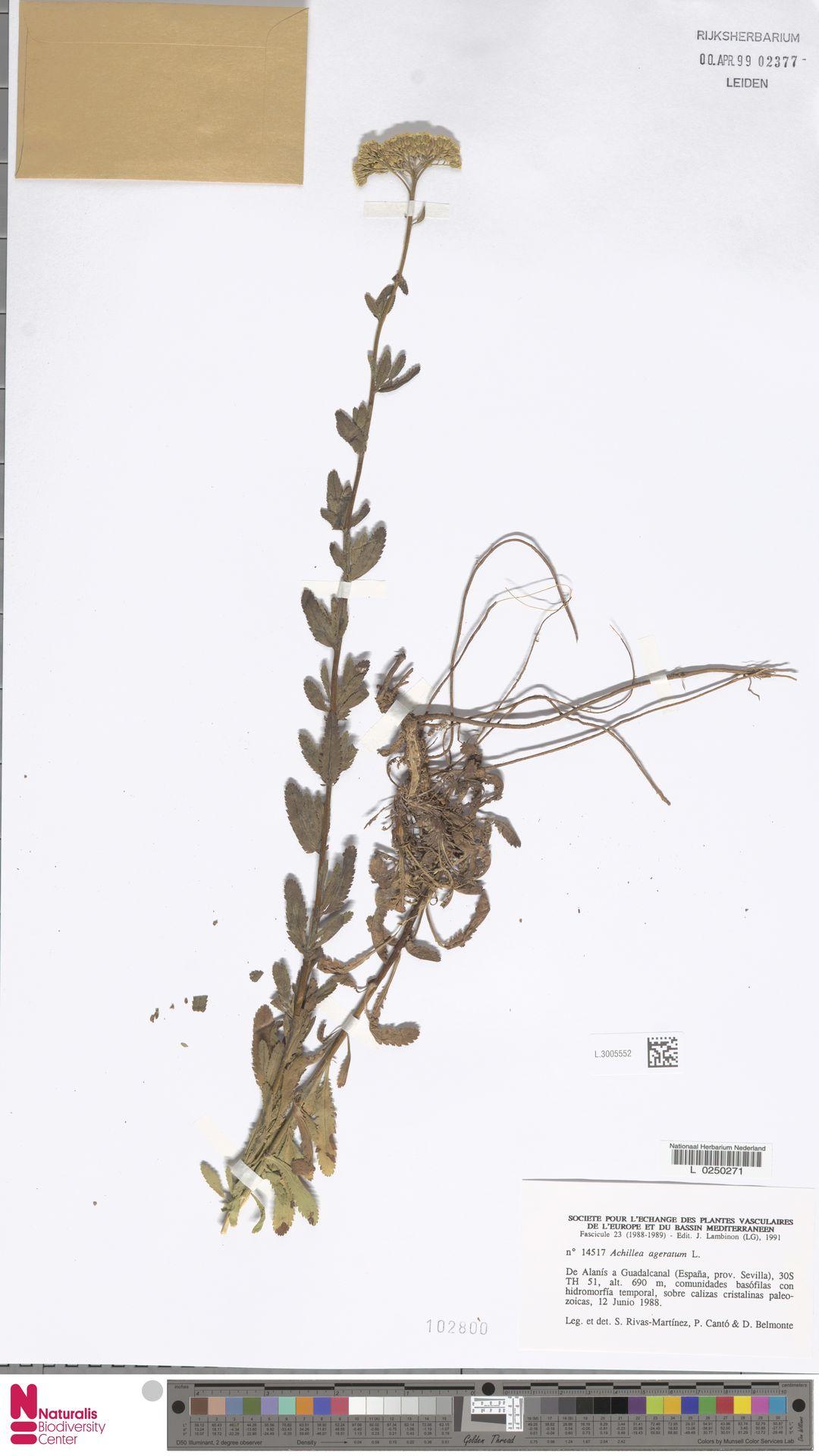 L.3005552 | Achillea ageratum L.