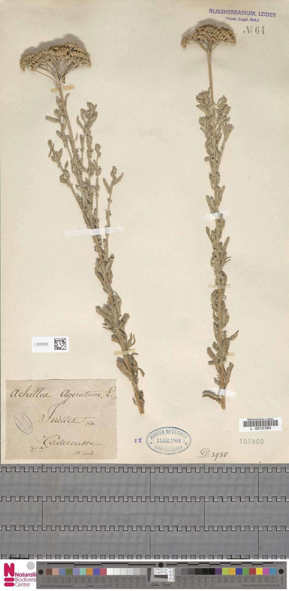 L.3005553 | Achillea ageratum L.
