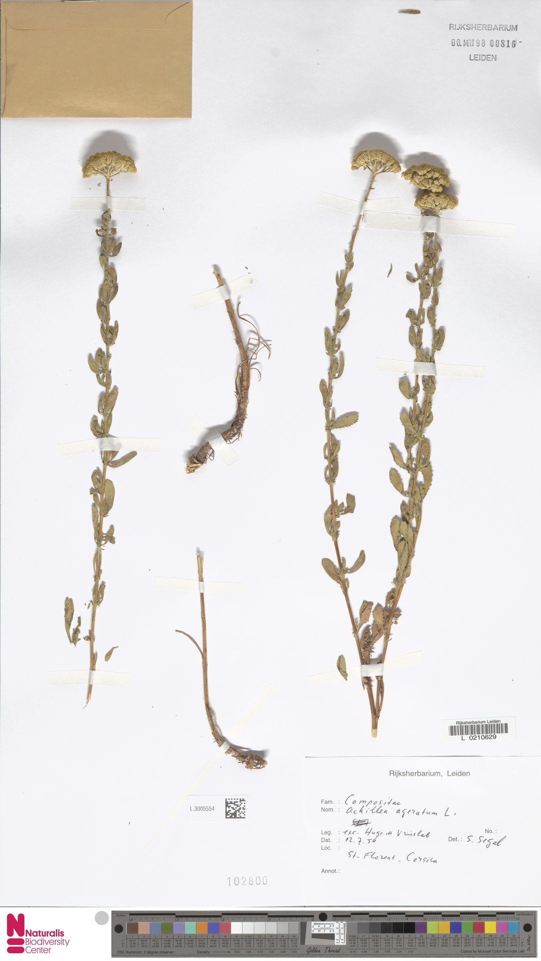 L.3005554 | Achillea ageratum L.