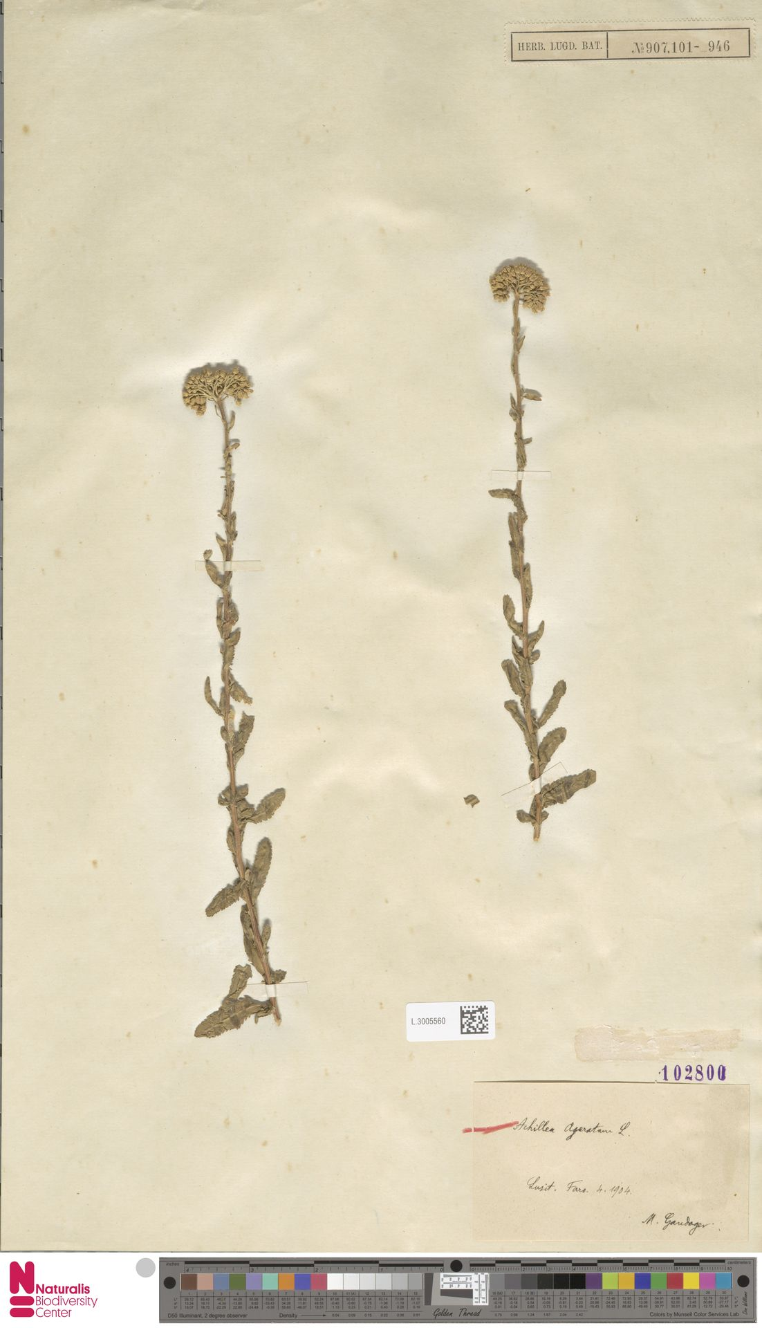 L.3005560   Achillea ageratum L.