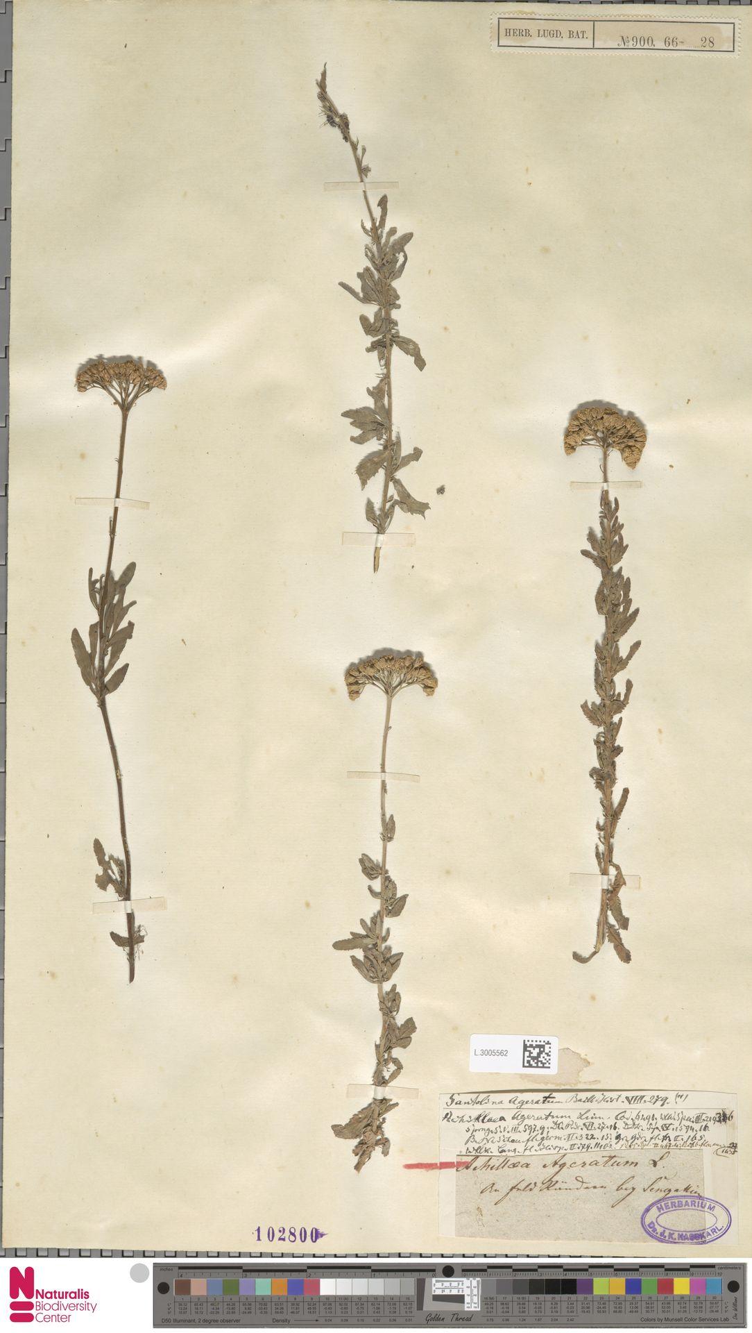 L.3005562 | Achillea ageratum L.