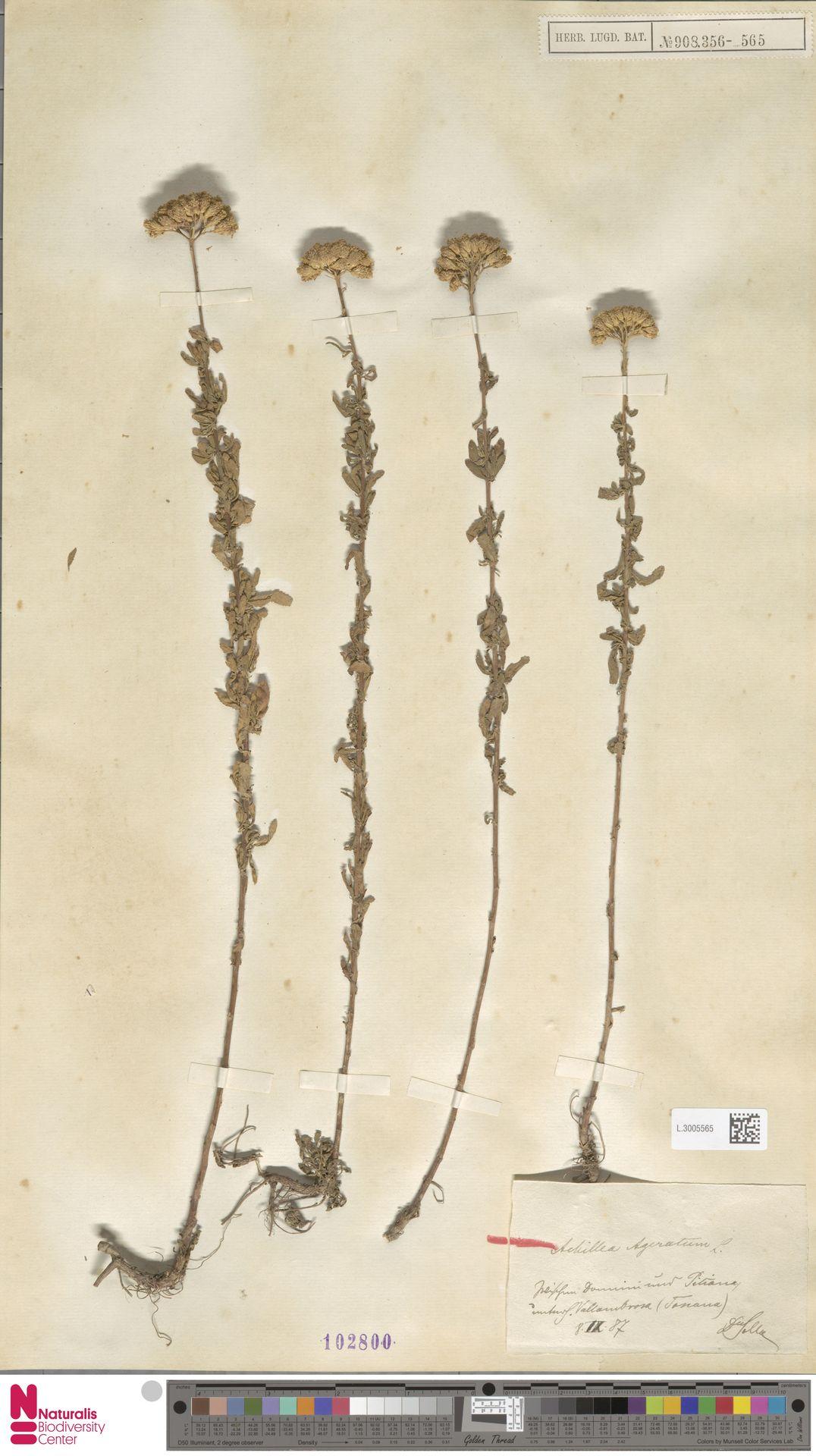 L.3005565 | Achillea ageratum L.
