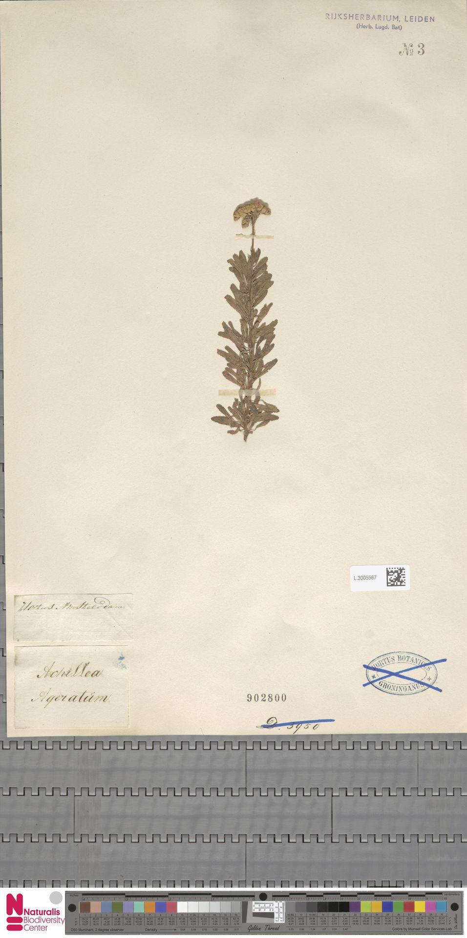 L.3005567 | Achillea ageratum L.