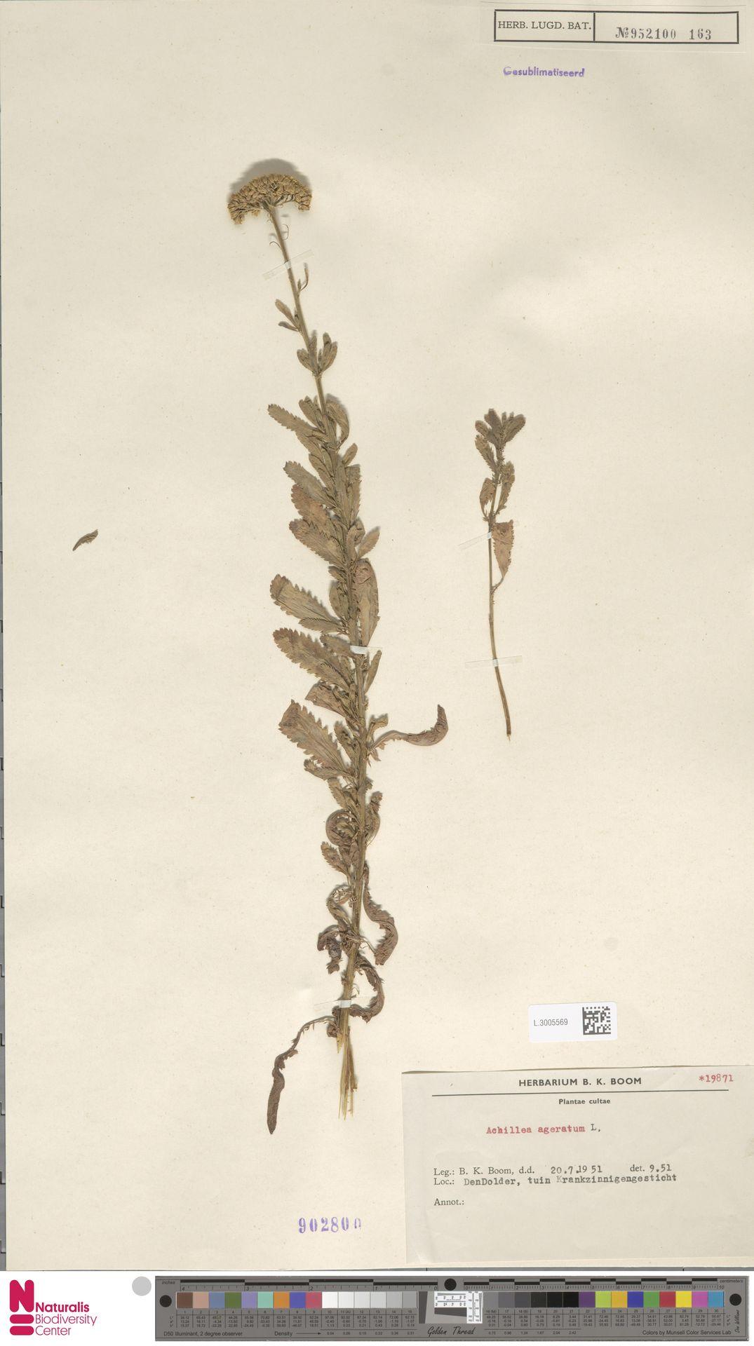 L.3005569 | Achillea ageratum L.