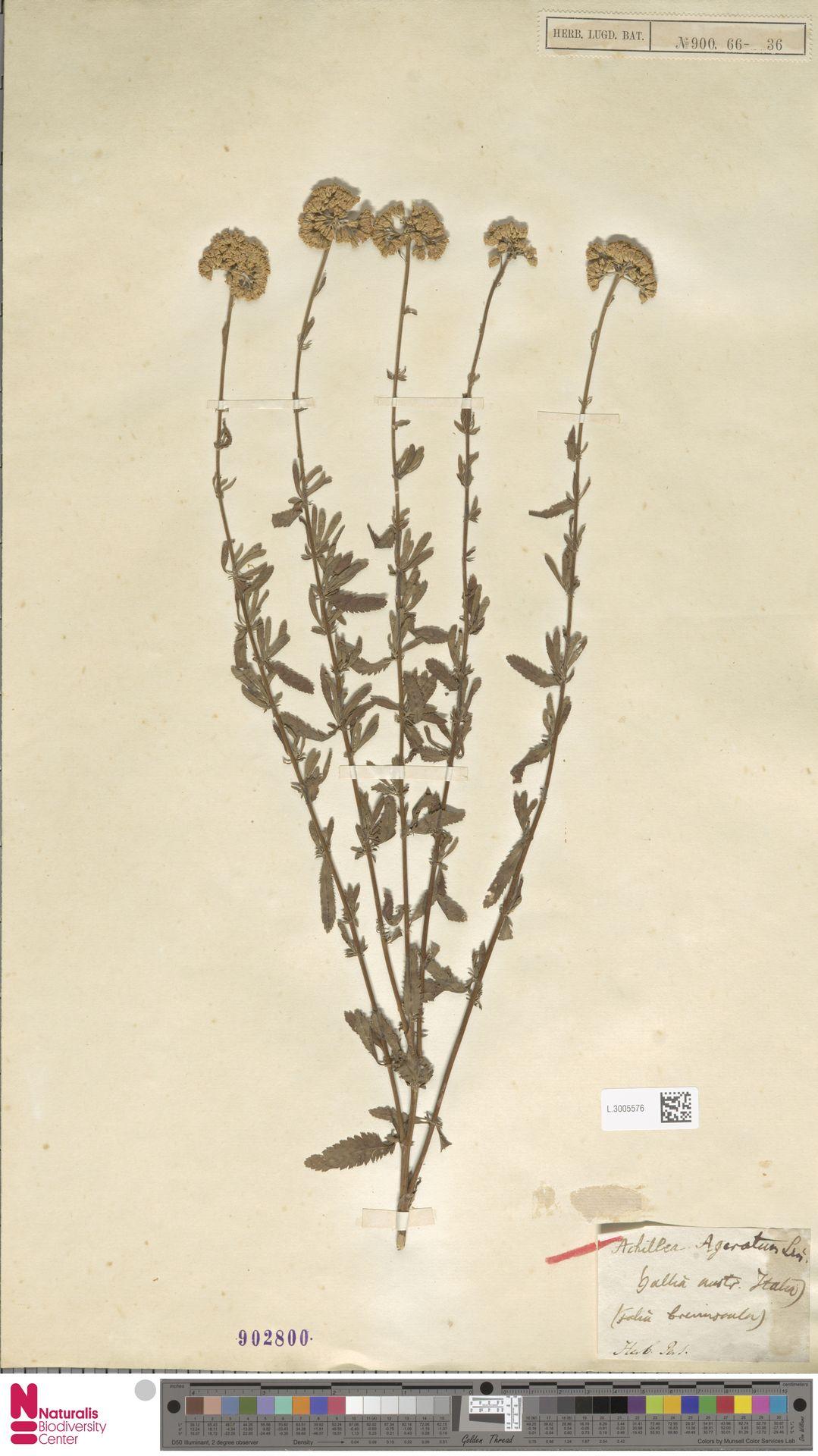 L.3005576 | Achillea ageratum L.