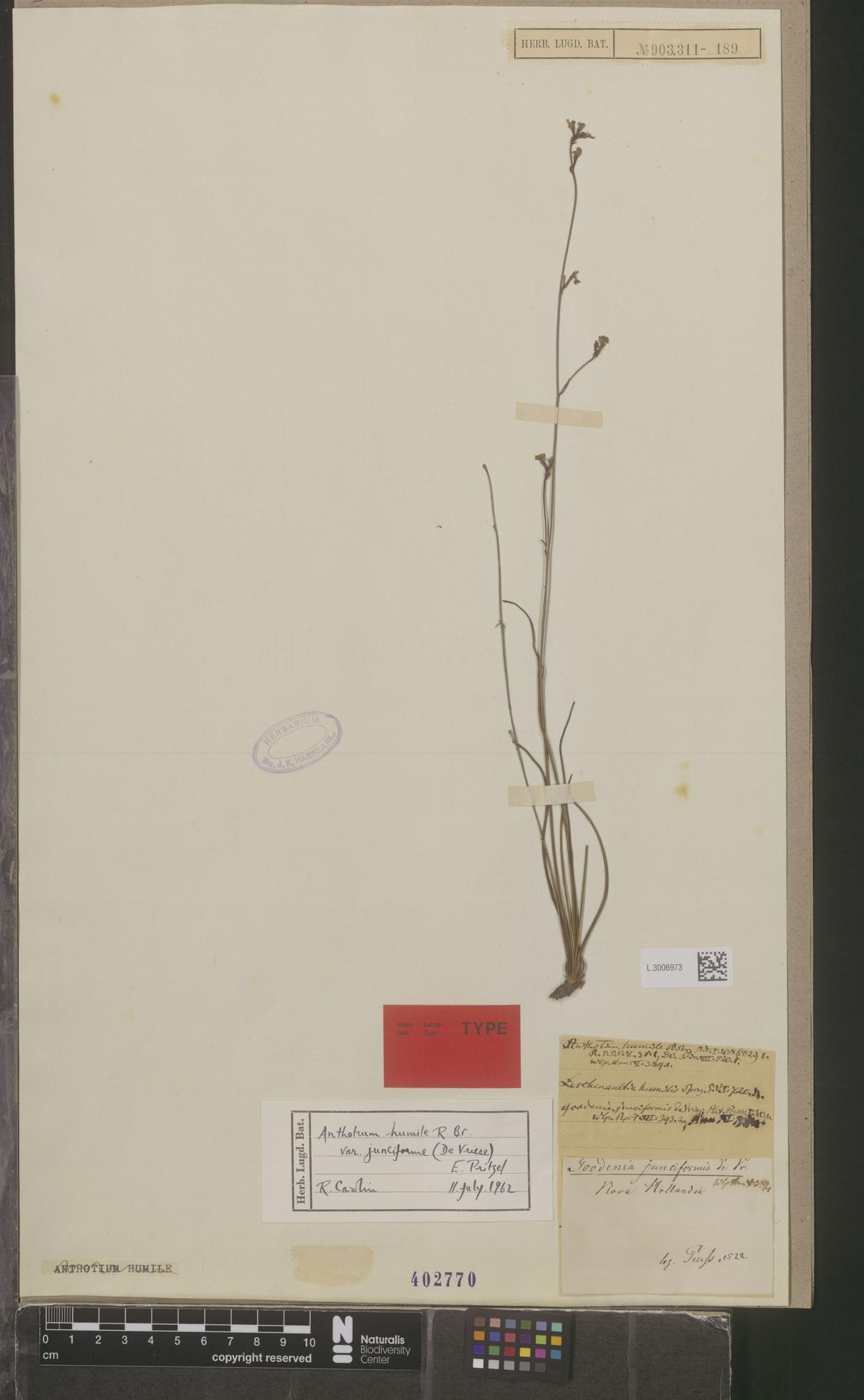 L.3006973   Anthotium humile var. junciforme (de Vriese) E.Pritz.