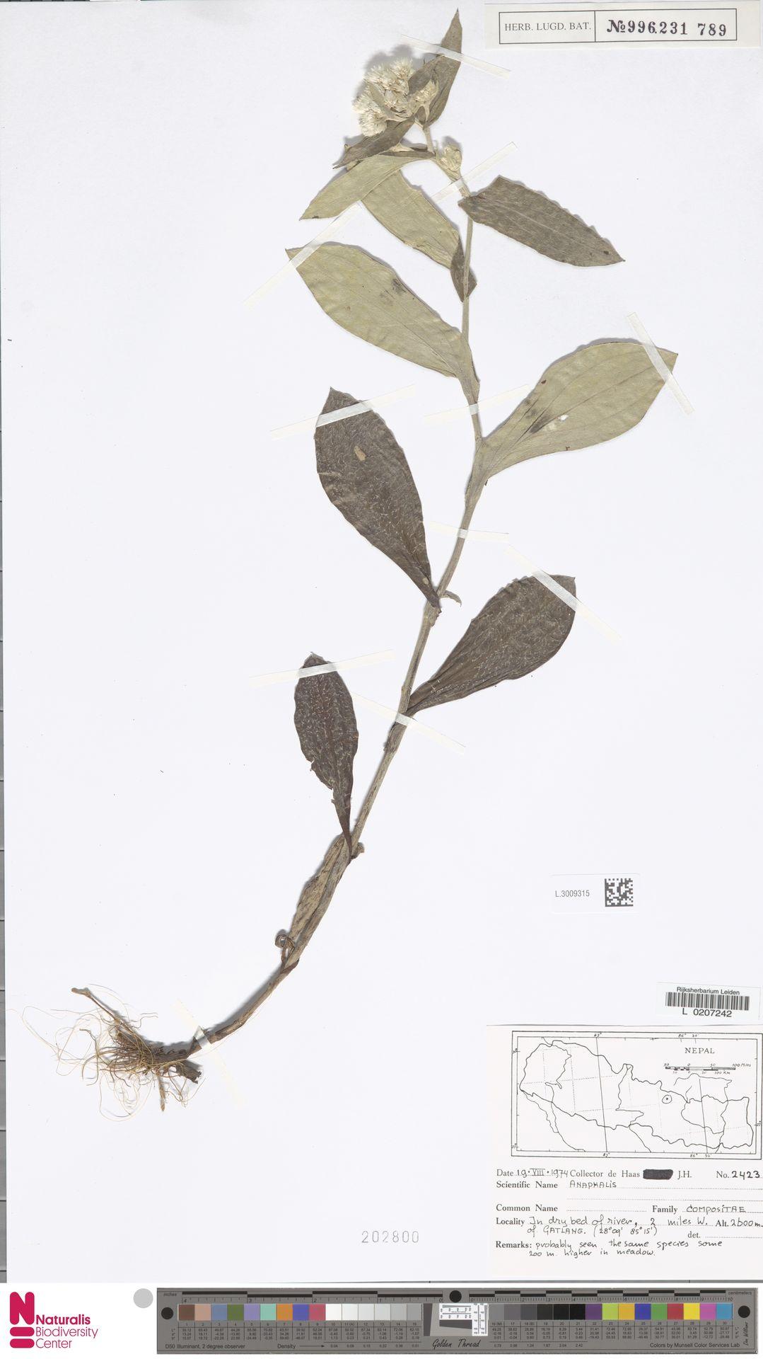 L.3009315 | Anaphalis margaritacea (L.) Benth. & Hook.f.