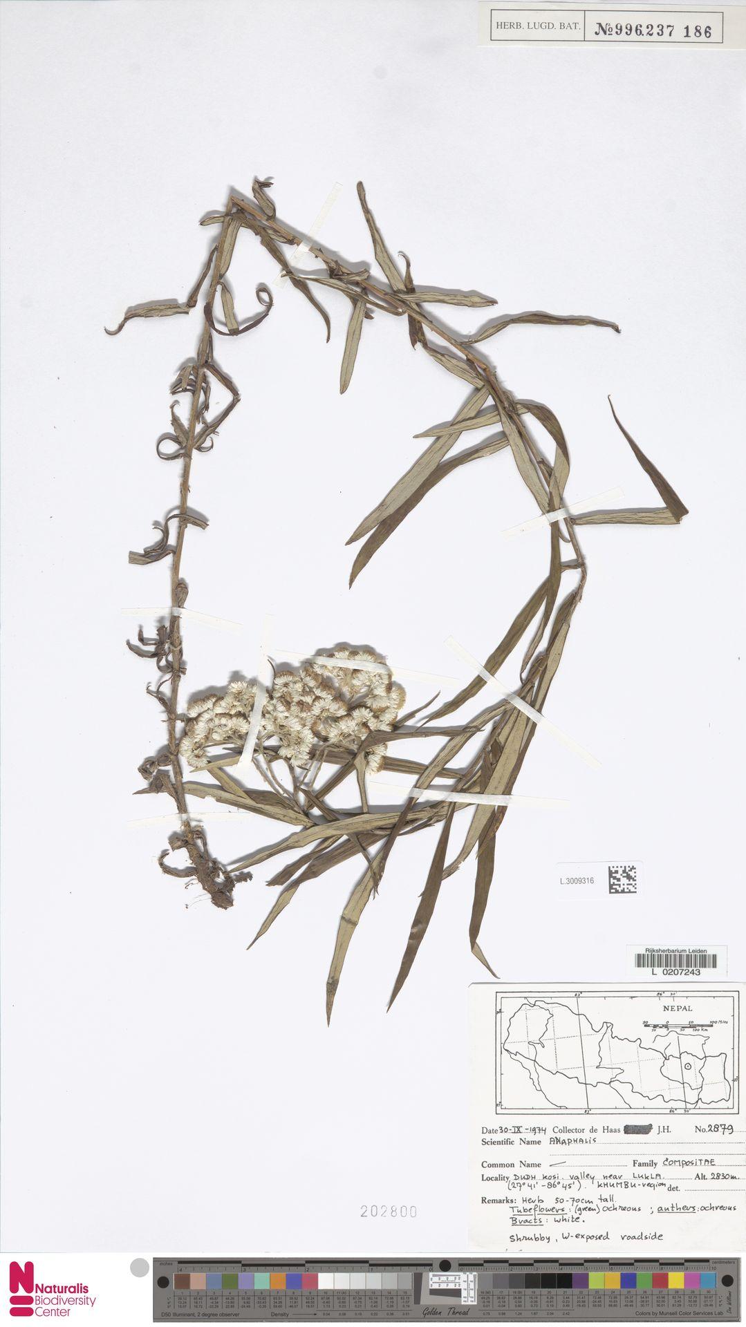 L.3009316 | Anaphalis margaritacea (L.) Benth. & Hook.f.