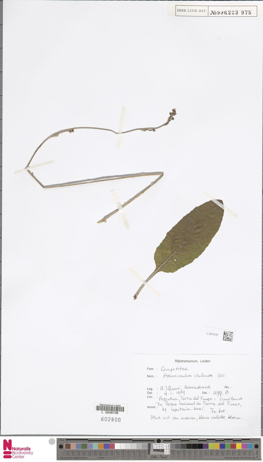 L.3010191 | Adenocaulon chilense Less.