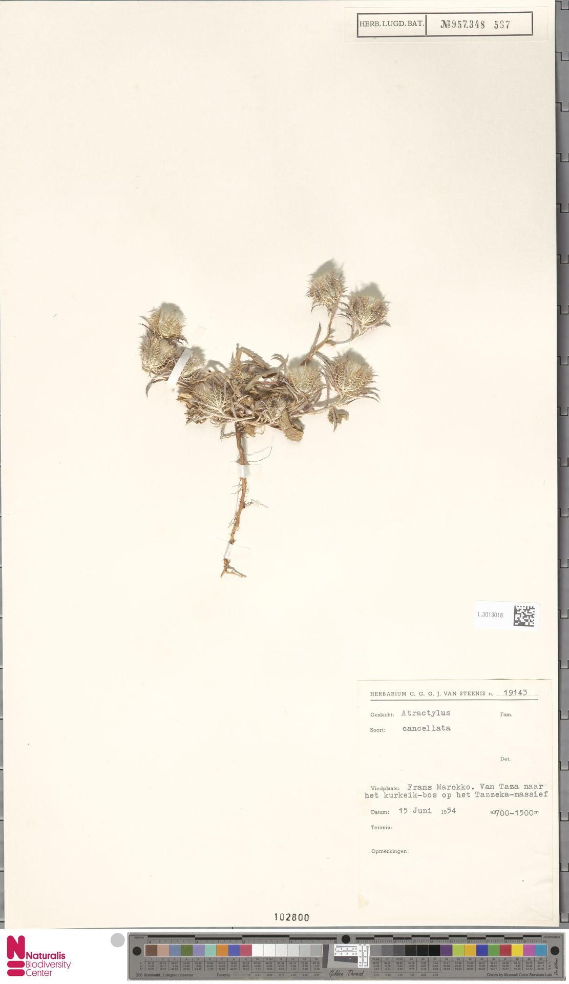 L.3013018 | Atractylis cancellata L.