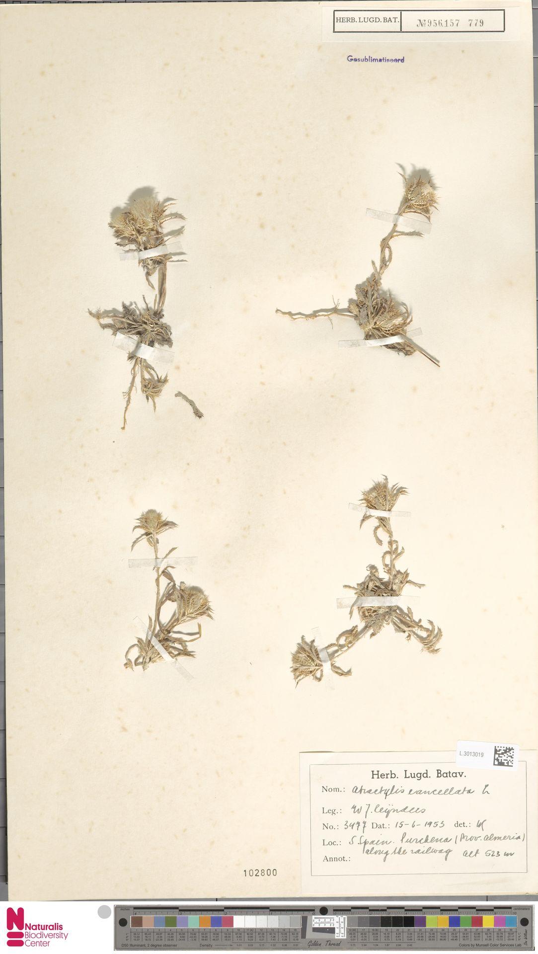 L.3013019 | Atractylis cancellata L.