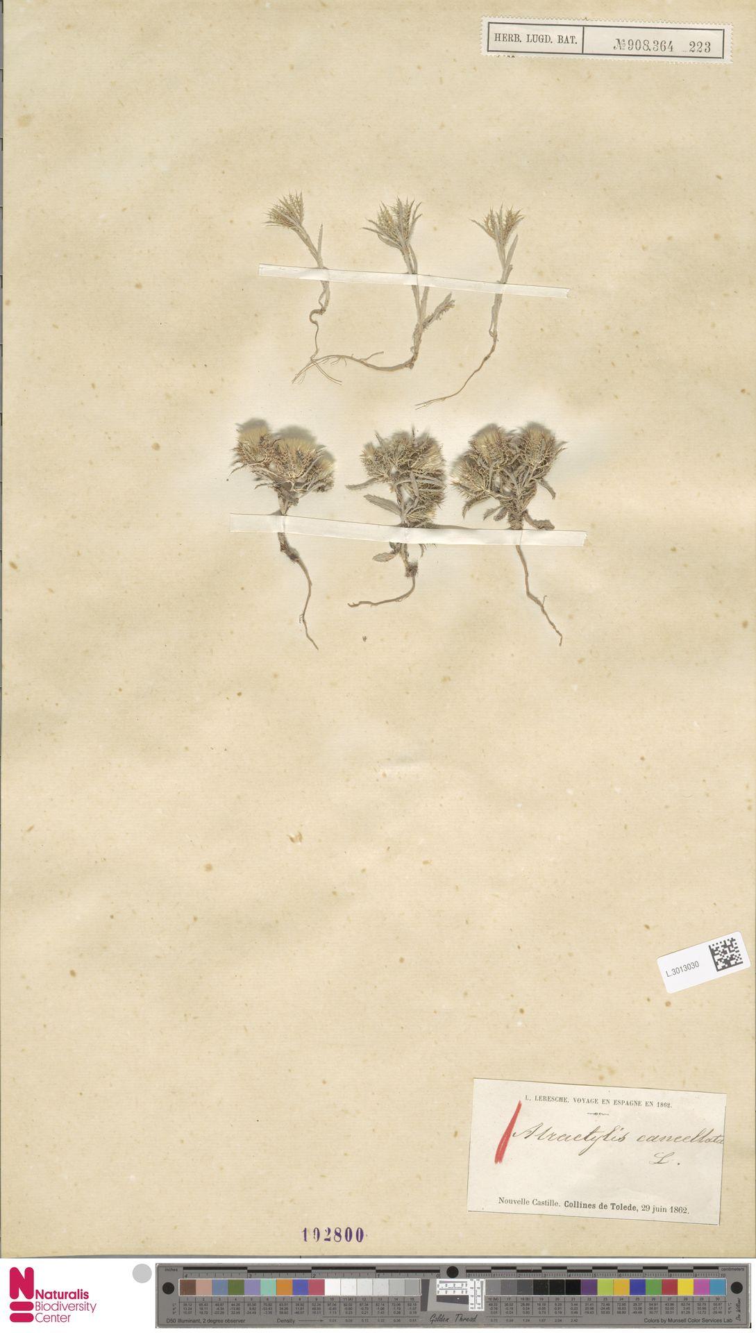 L.3013030 | Atractylis cancellata L.