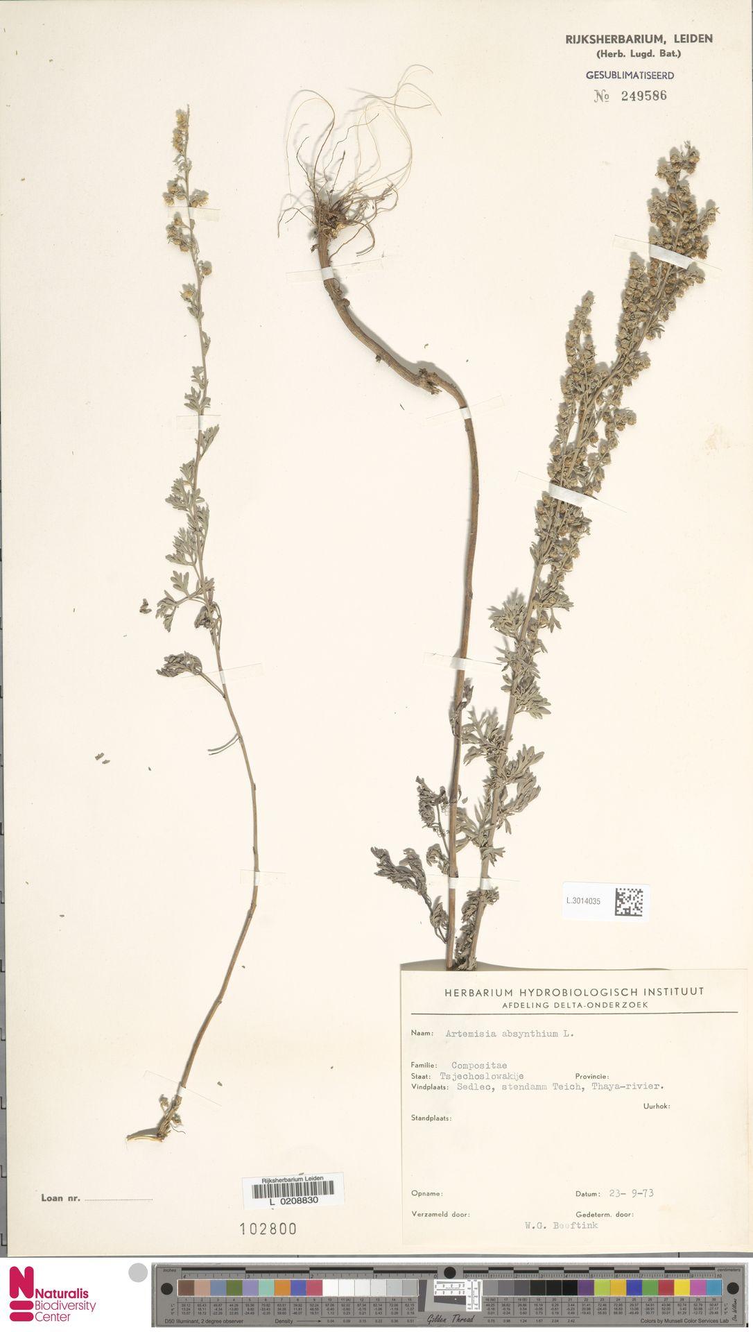 L.3014035 | Artemisia absinthium L.