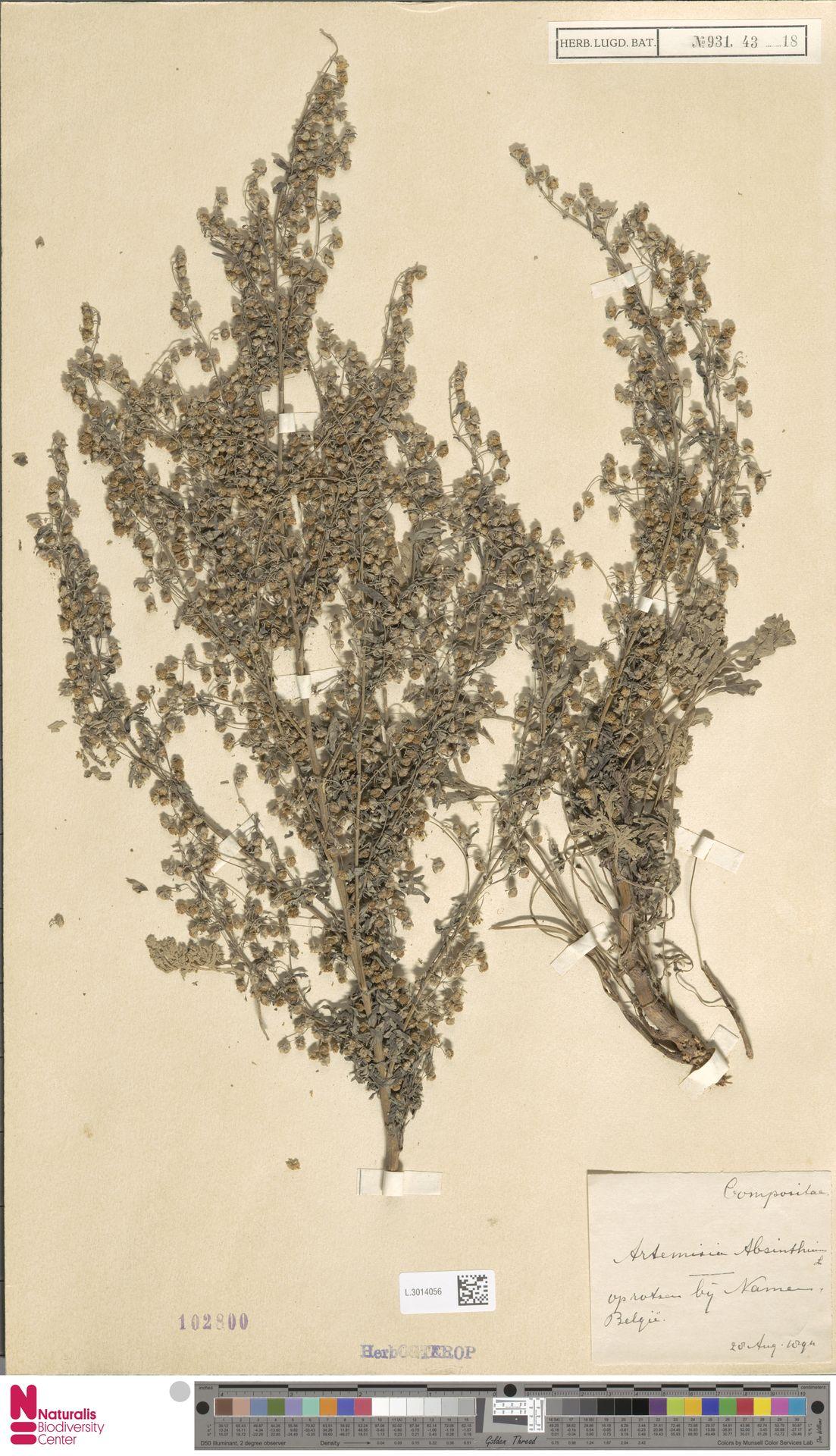 L.3014056 | Artemisia absinthium L.